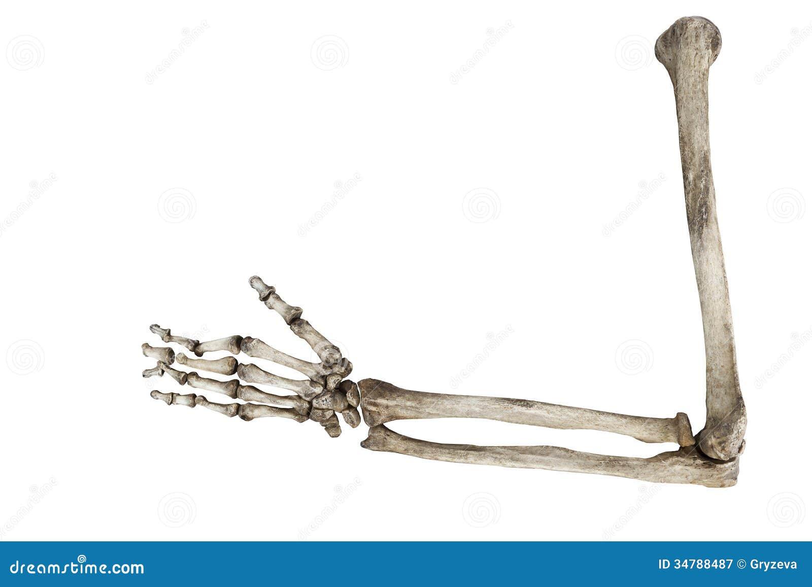 在白色背景隔绝的人的手的老骨头