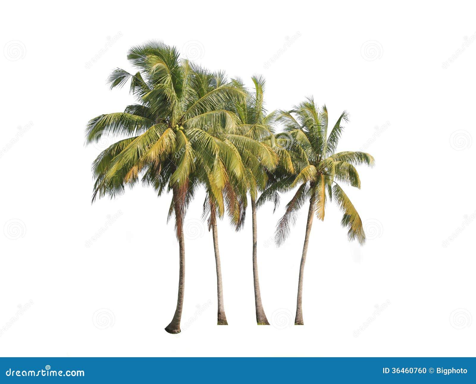 在白色背景隔绝的四棵可可椰子树