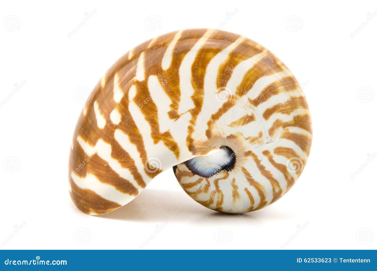 在白色背景隔绝的烟囱鹦鹉贝壳