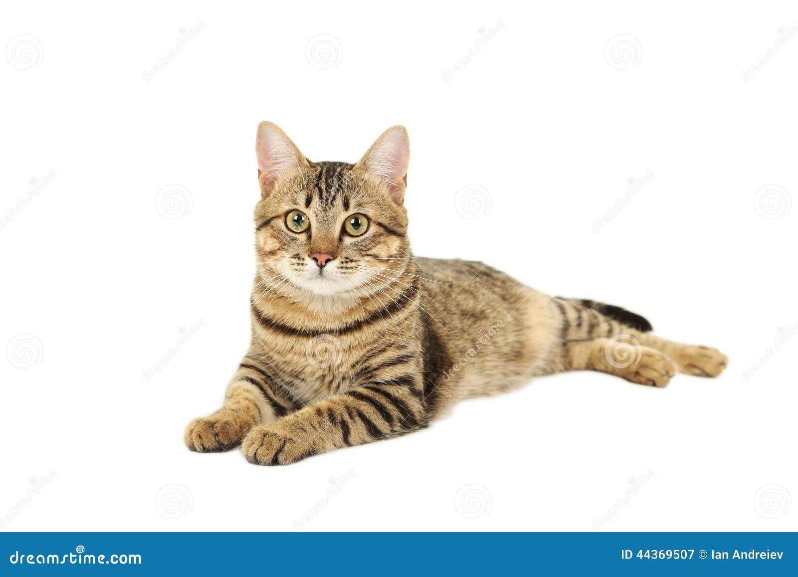 在白色背景隔绝的美丽的猫