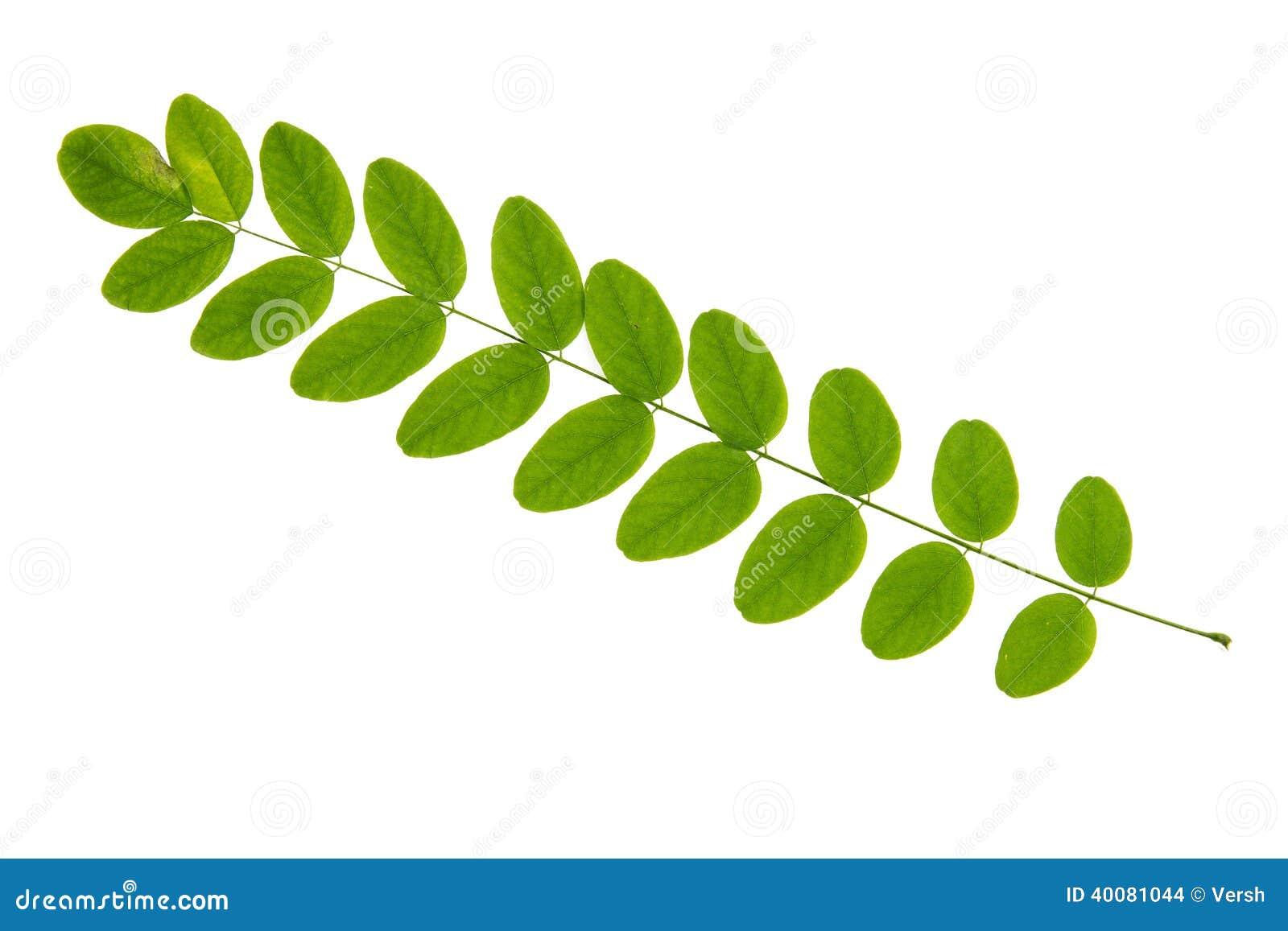 在白色背景隔绝的金合欢树绿色叶子图片