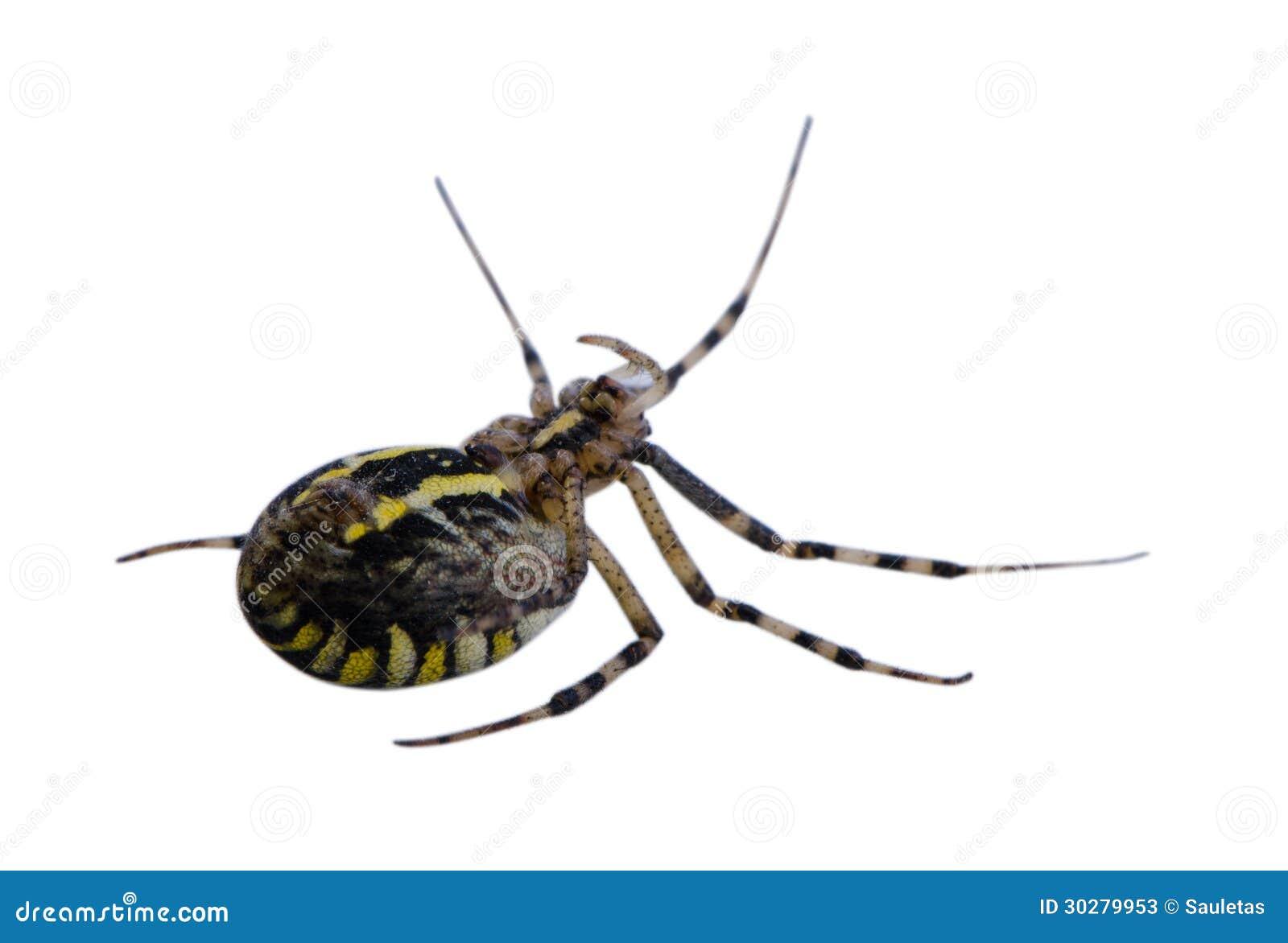 黄蜂在白色隔绝的蜘蛛转交