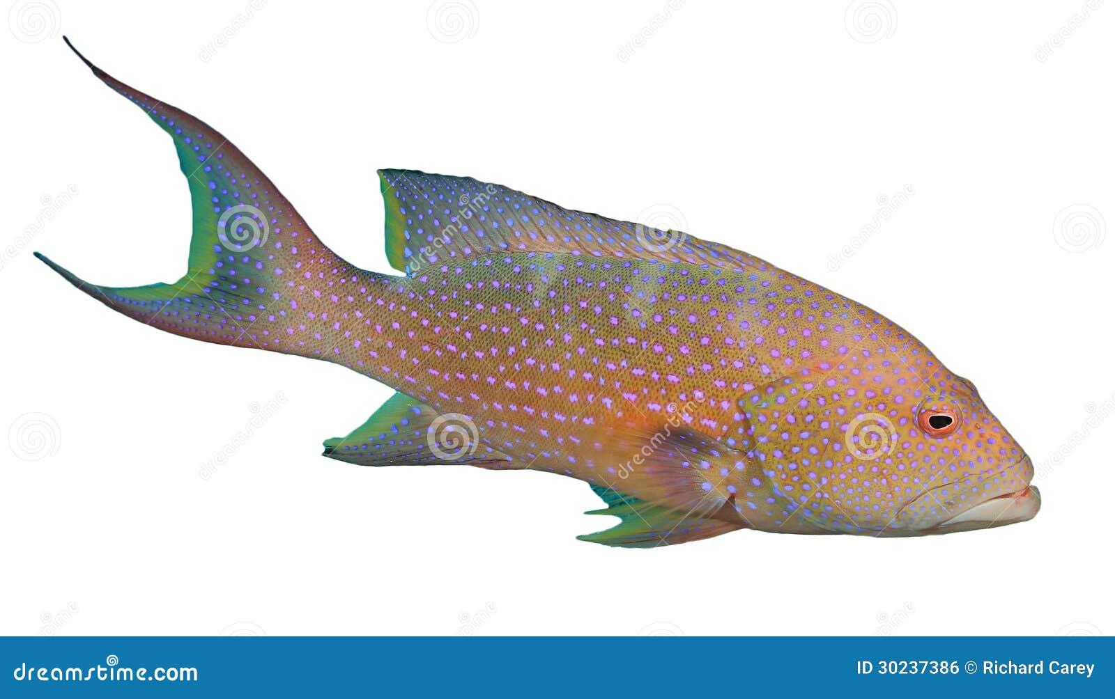 lyretail石斑鱼