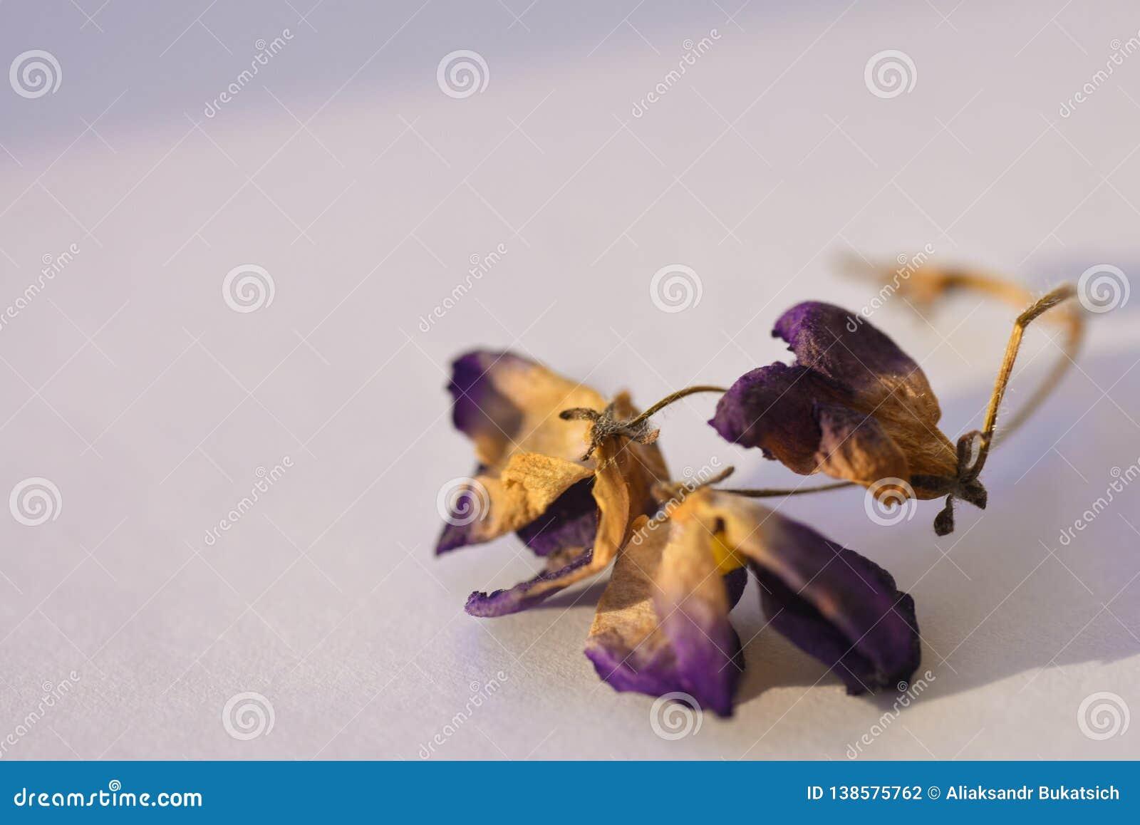 在白色背景,特写镜头的干紫罗兰色花