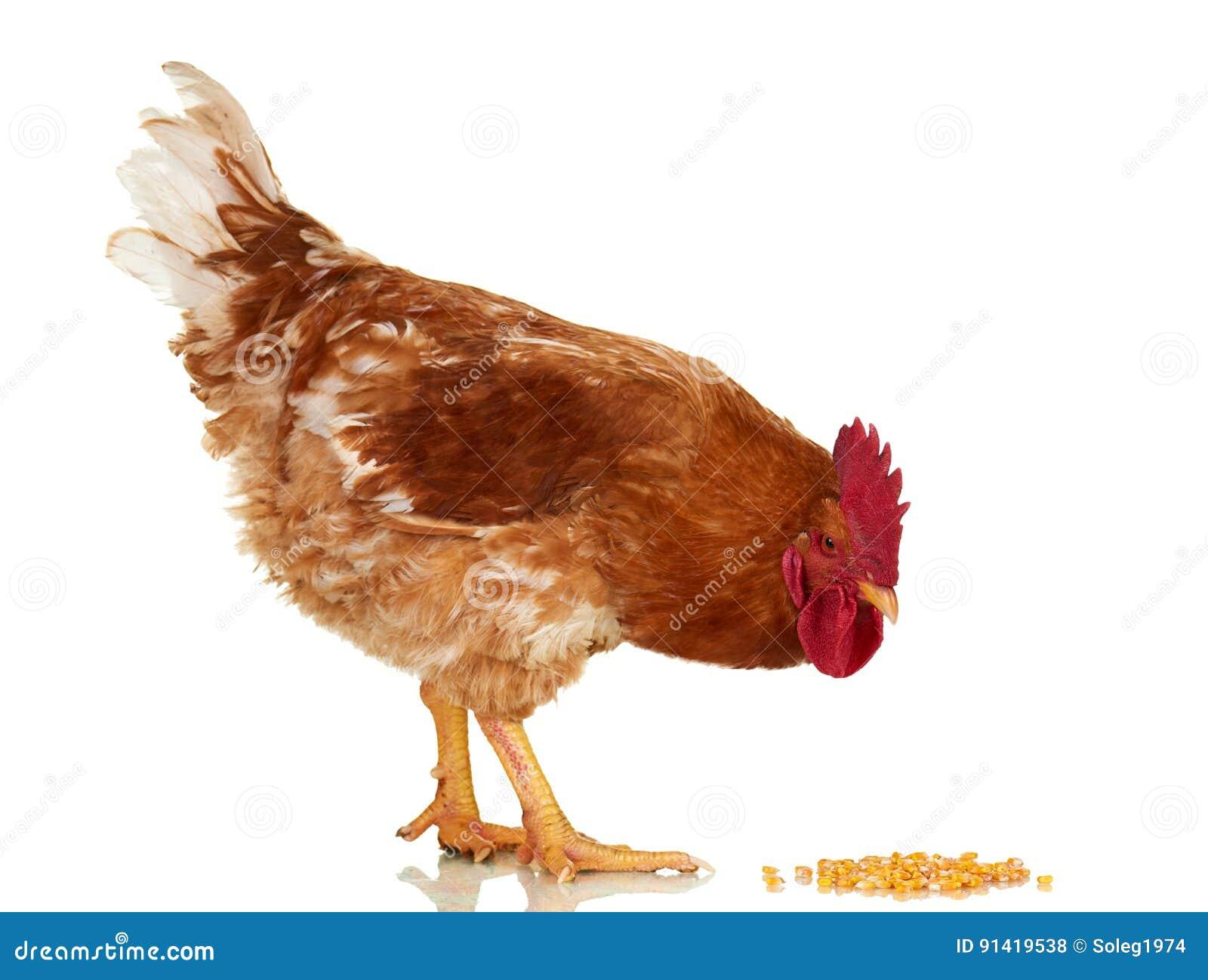 在白色背景,被隔绝的对象,活鸡,一个特写镜头牲口的雄鸡