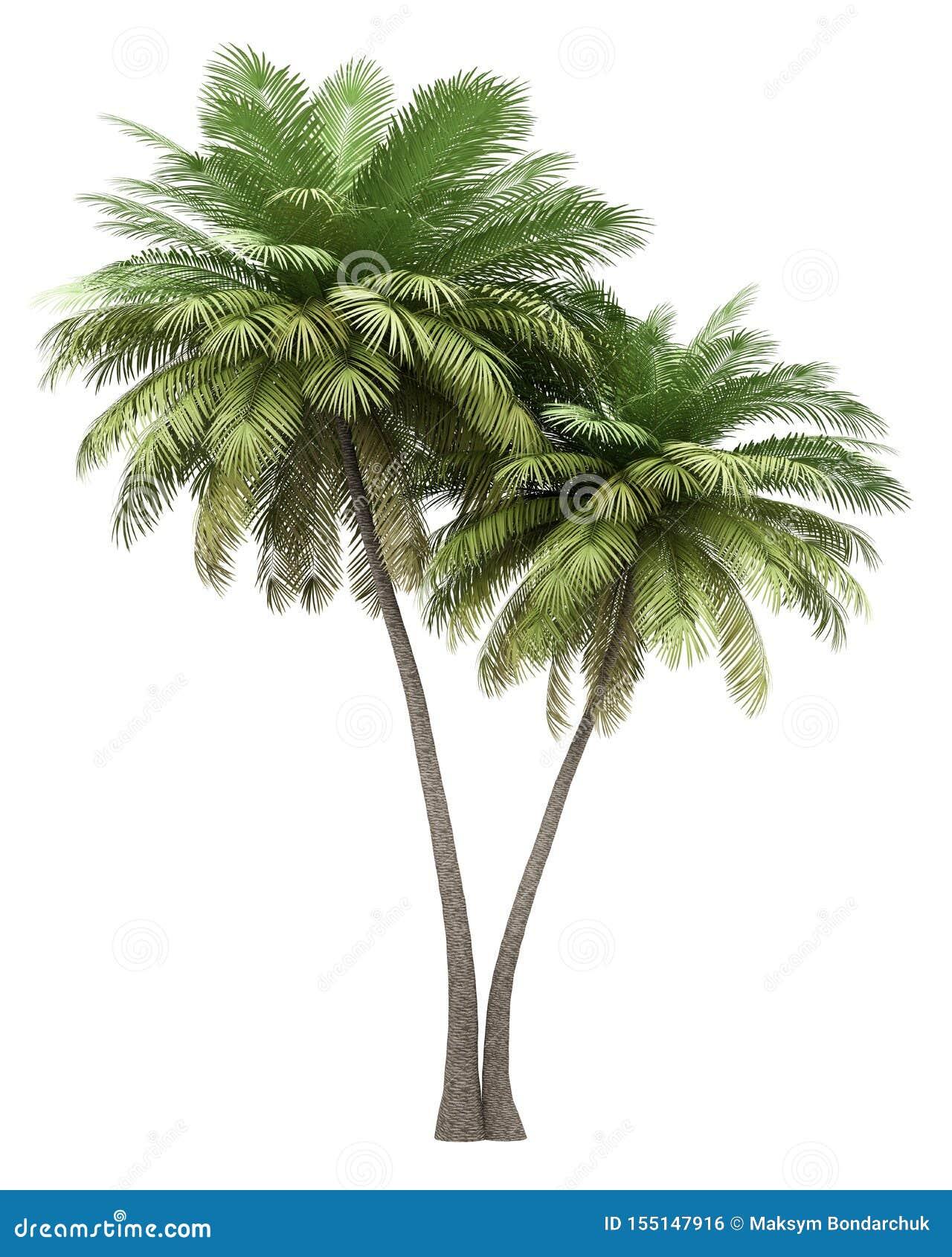在白色隔绝的两棵可可椰子树