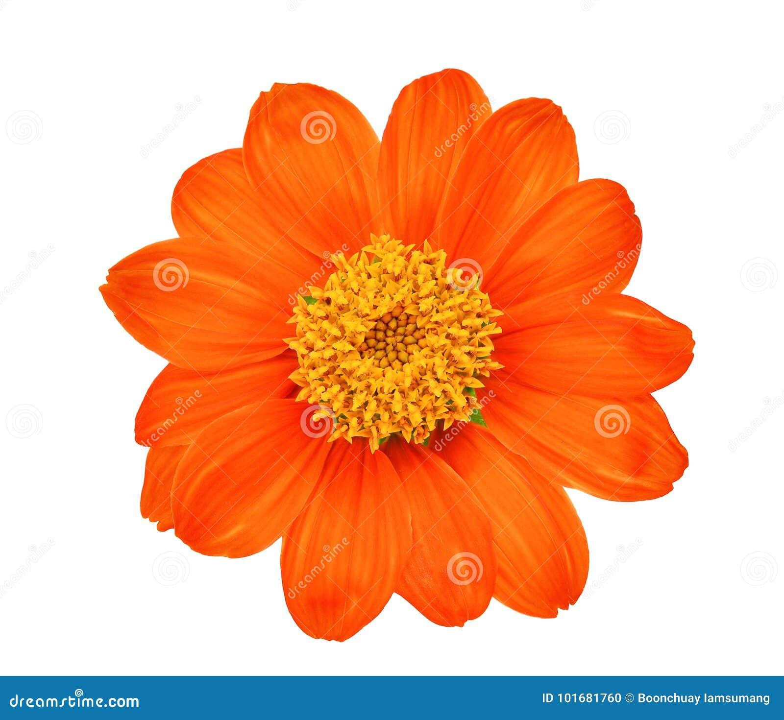 在白色隔绝的唯一橙色花顶视图