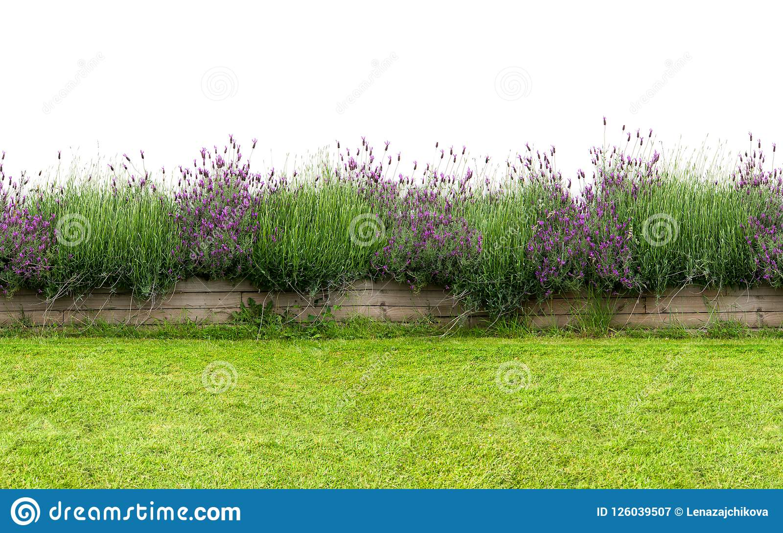 在白色隔绝的小花树篱 无缝的不尽的样式