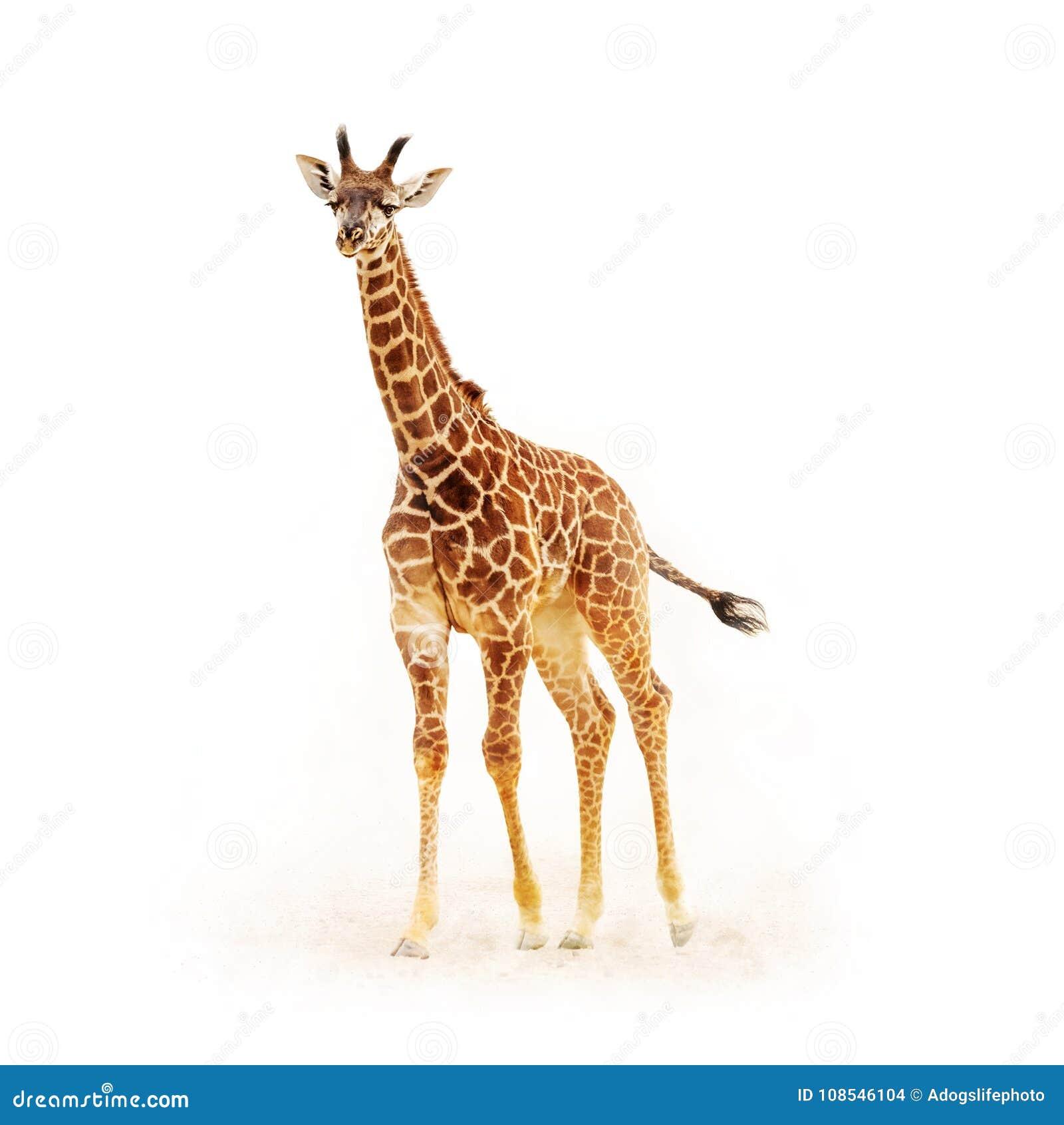 在白色隔绝的小长颈鹿