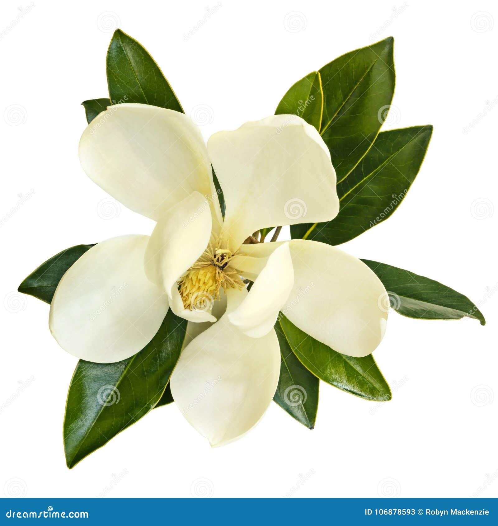 在白色隔绝的木兰花顶视图