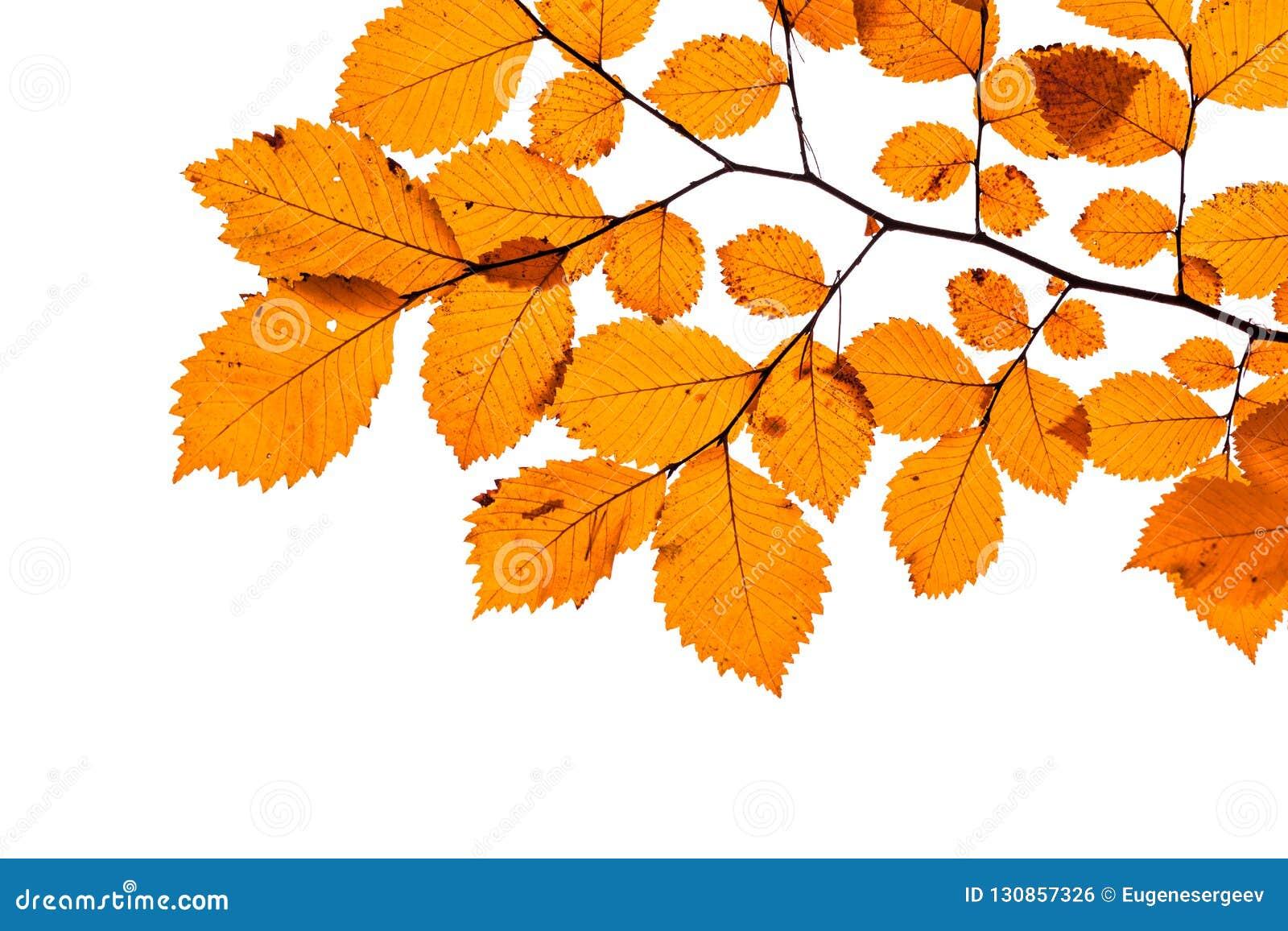 在白色隔绝的黄色树叶子