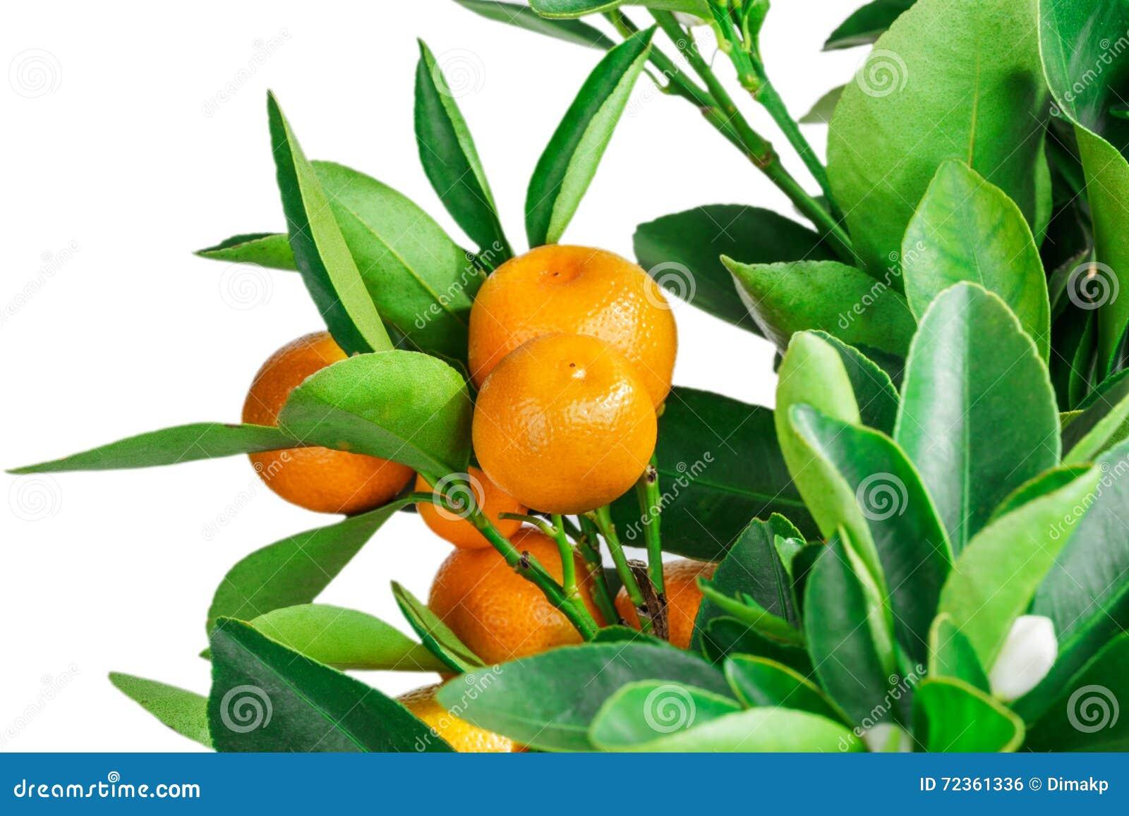 在白色隔绝的中国柑桔树