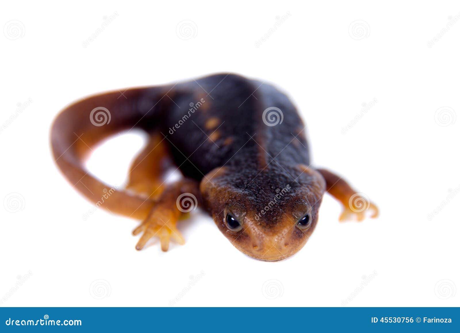 在白色隔绝的喜马拉雅蝾螈