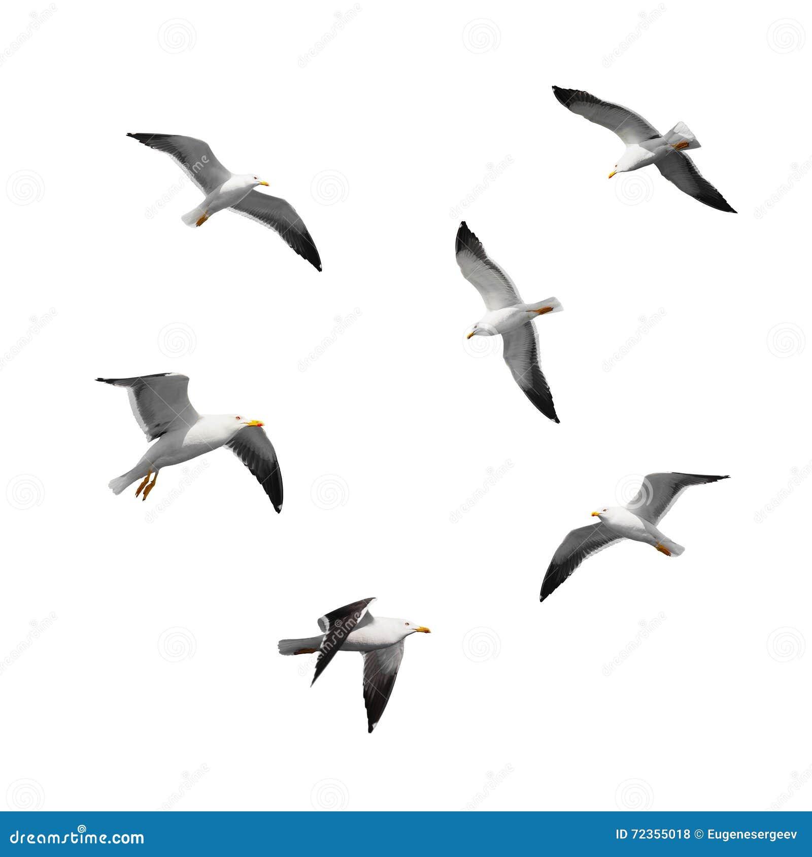在白色隔绝的套大飞行海鸥