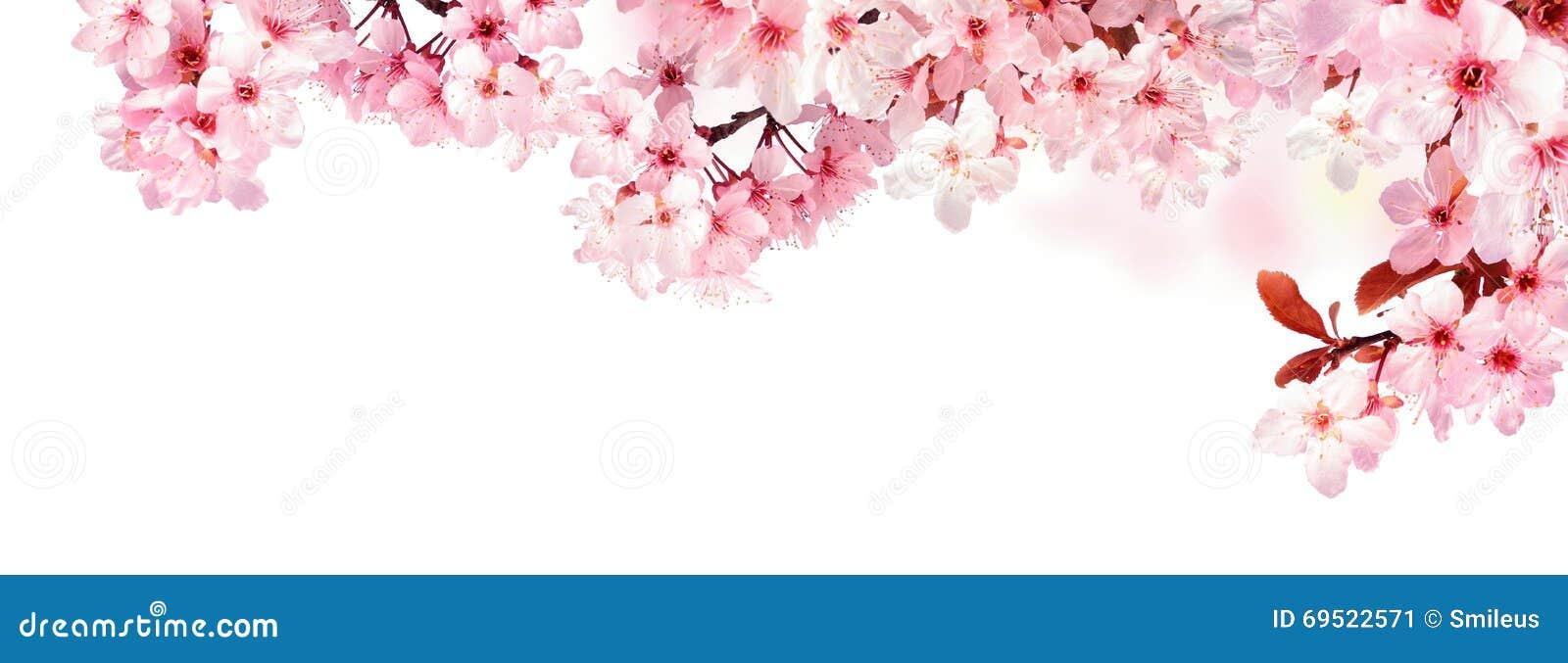 在白色隔绝的梦想的樱花