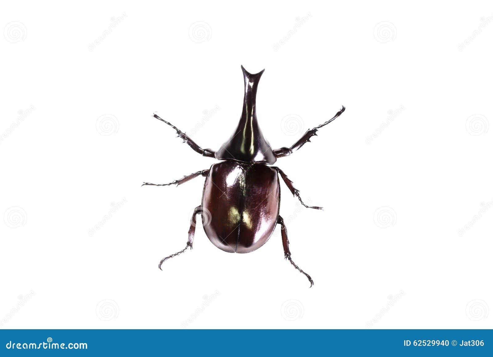 在白色隔绝的犀牛甲虫