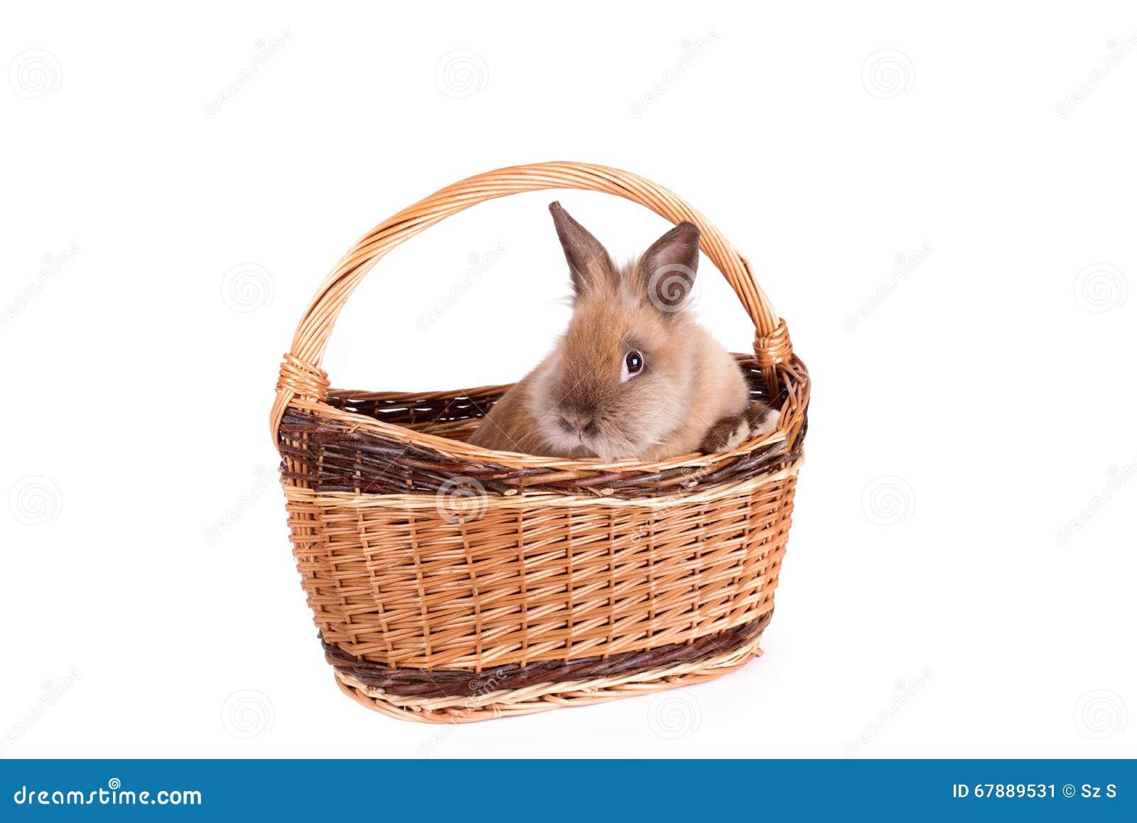 在白色隔绝的篮子的布朗兔子