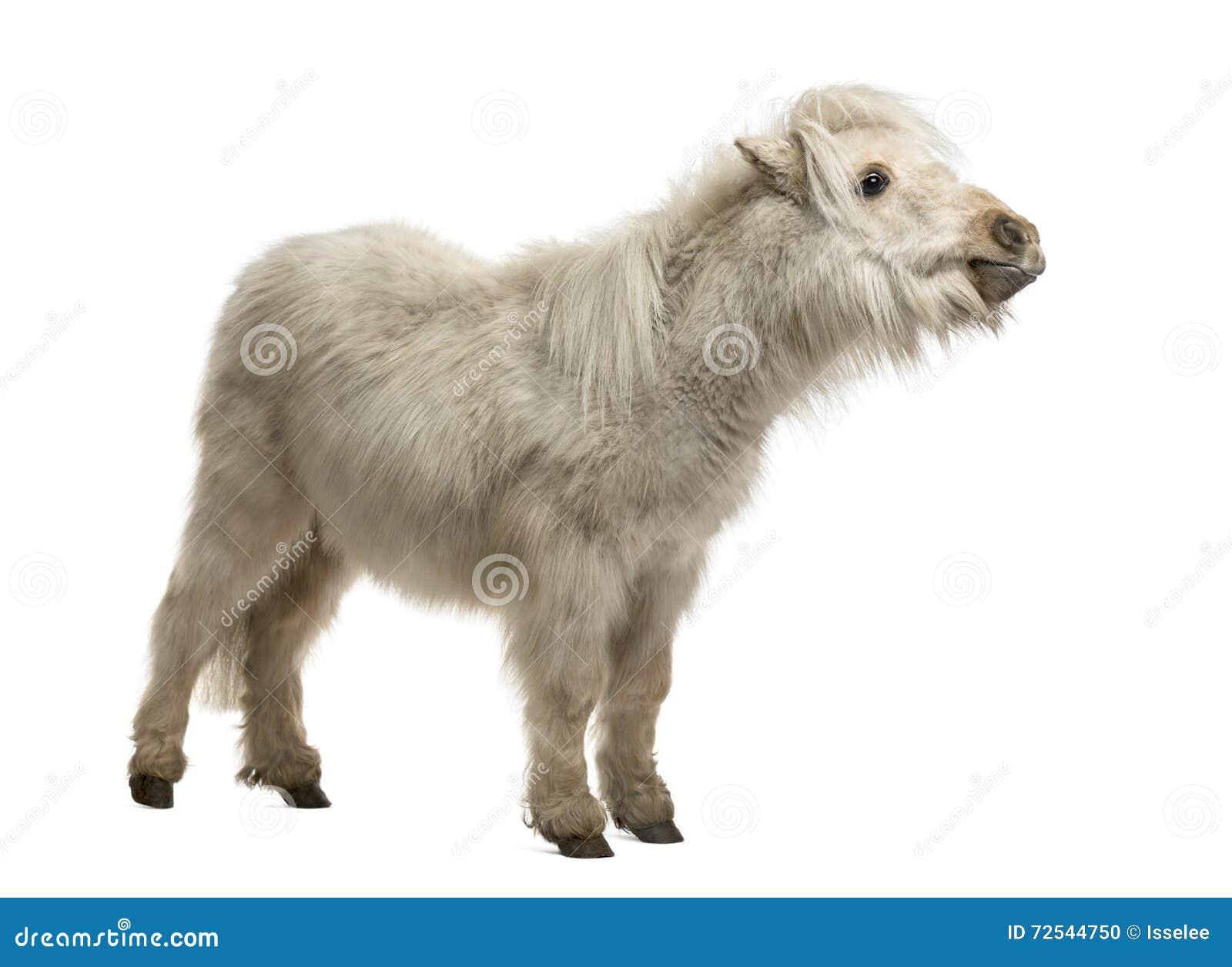 在白色隔绝的舍特兰群岛小马