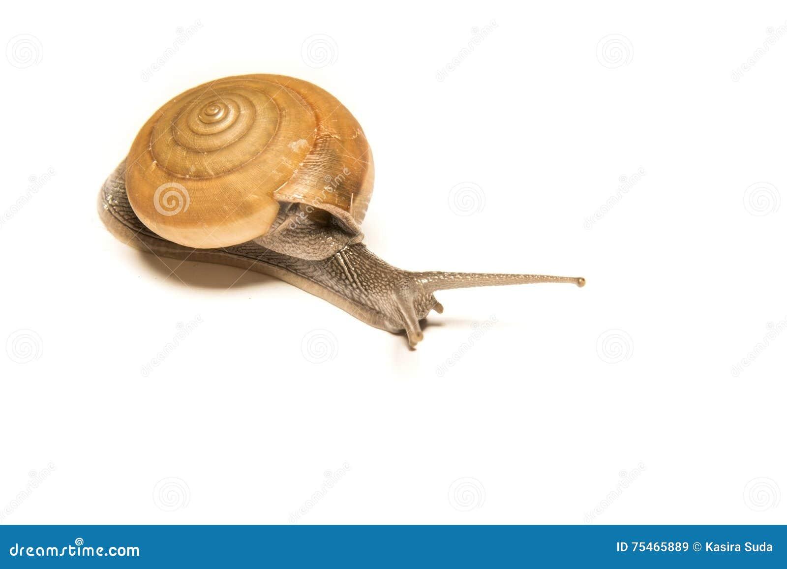 在白色隔绝的蜗牛,在近距离的射击的动物