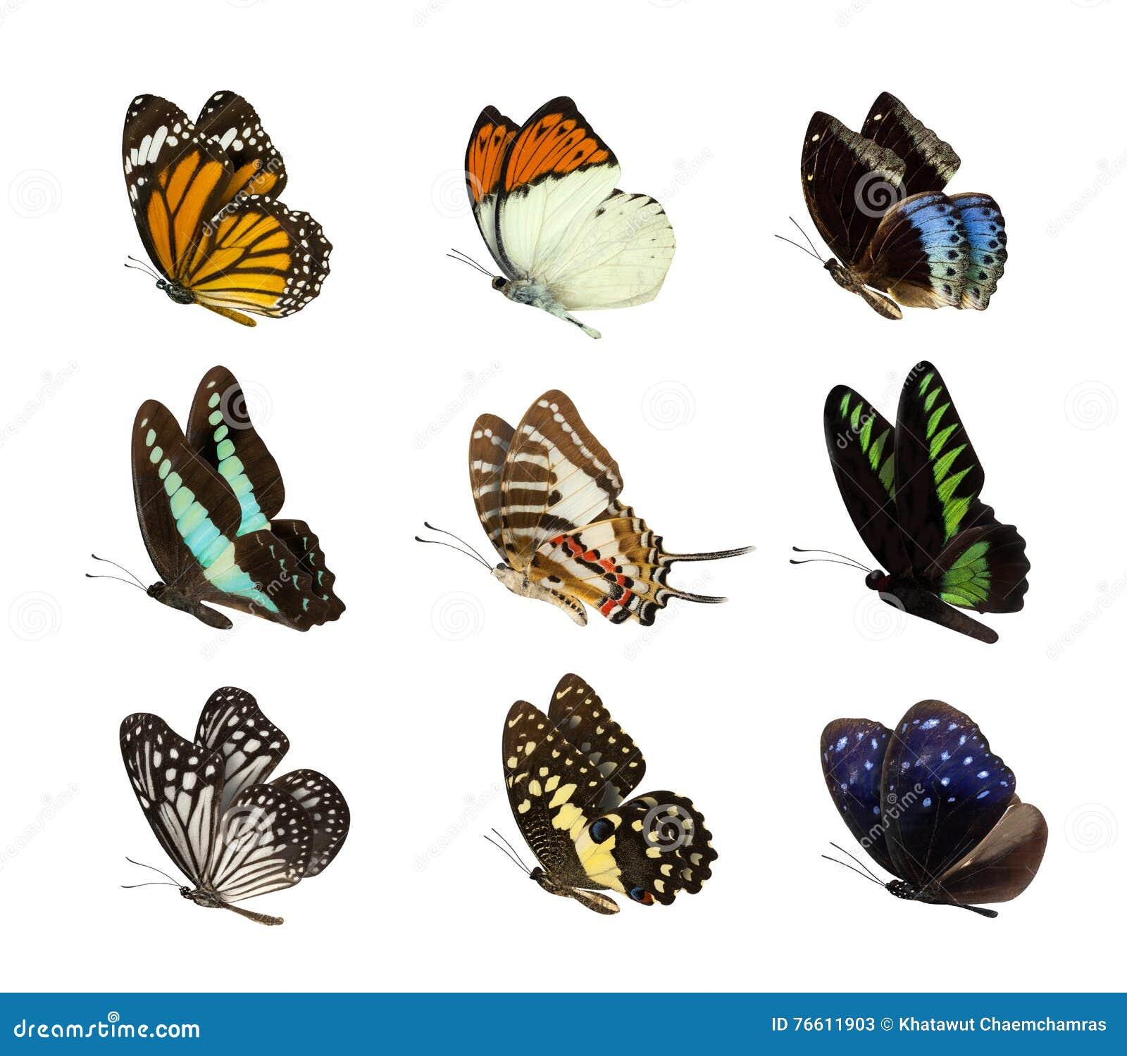 在白色蝴蝶隔绝的套
