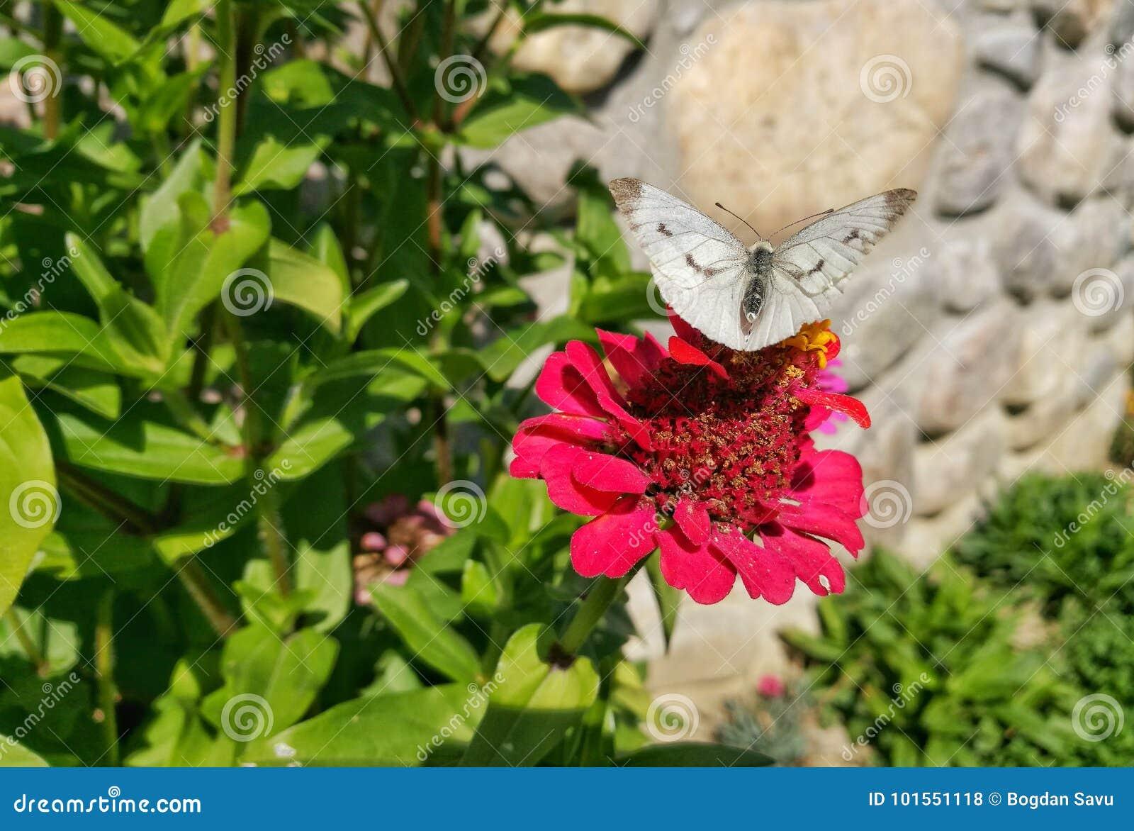 在百日菊属头状花序的蝴蝶