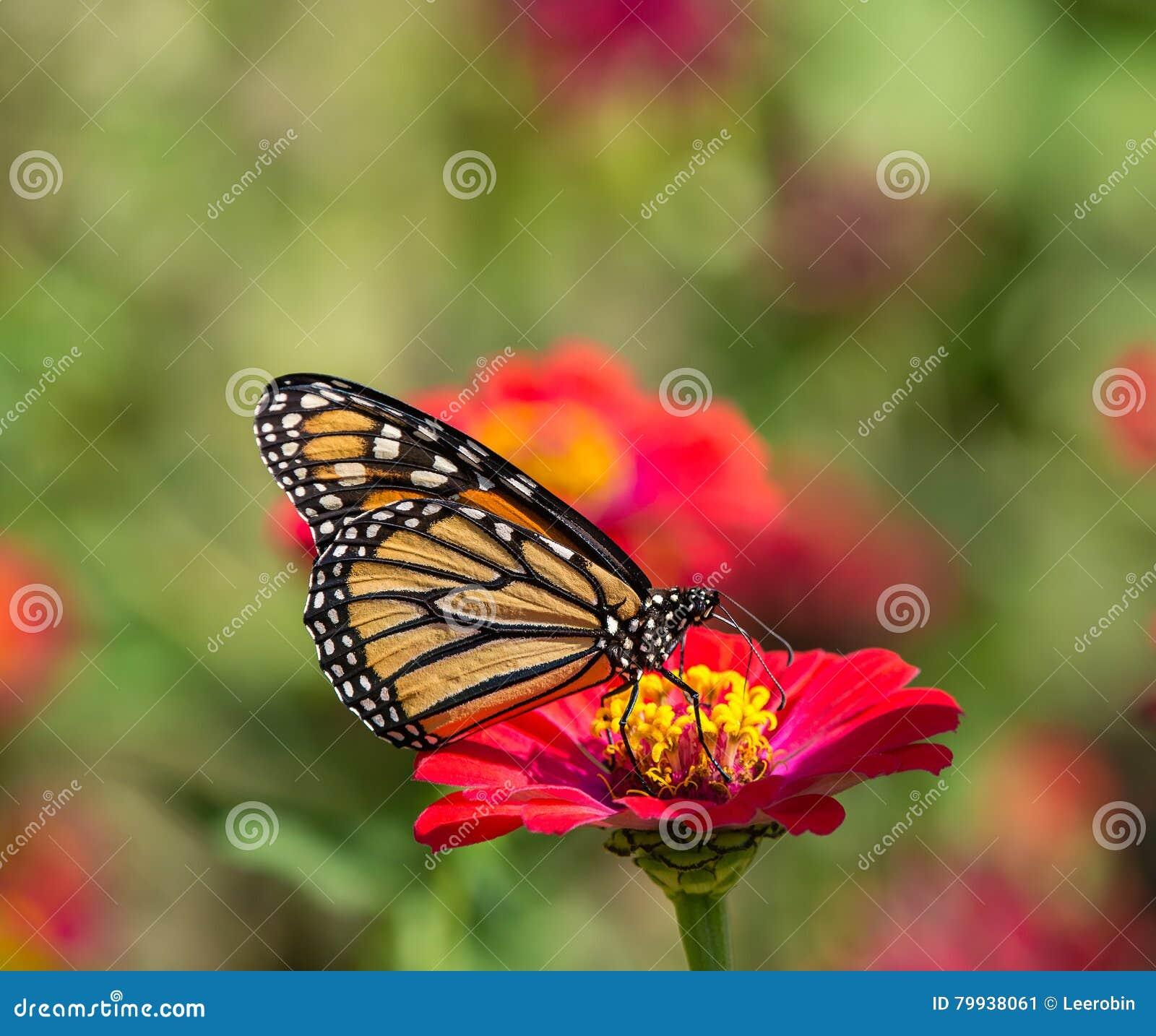 在百日菊属花的黑脉金斑蝶