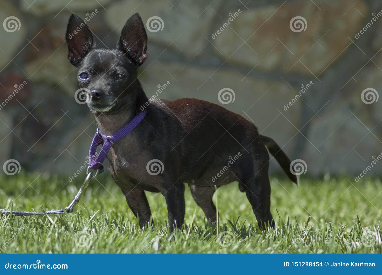 在皮带火车的逗人喜爱的黑奇瓦瓦狗小狗在草