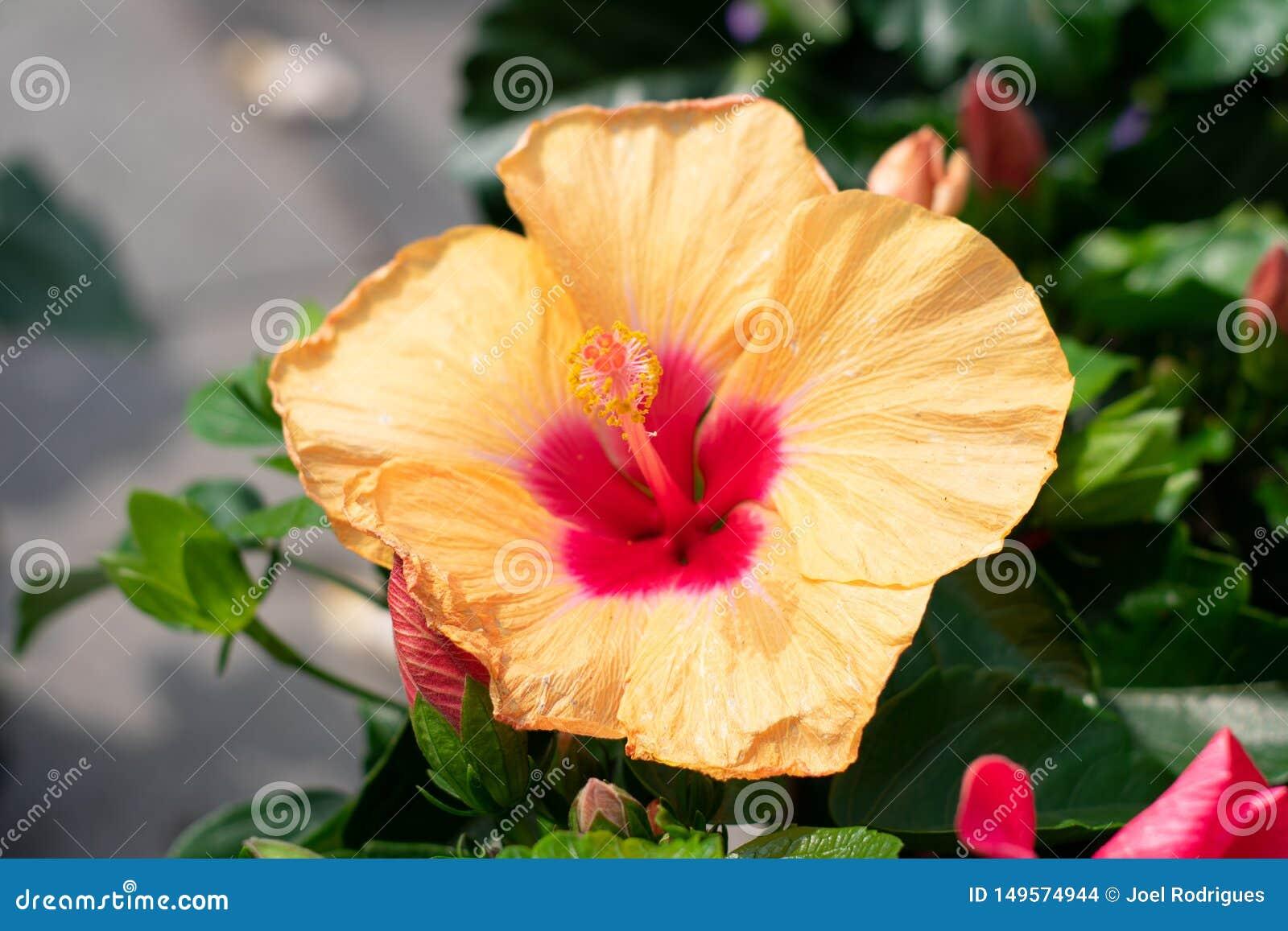 在盛开的黄色红色木槿花