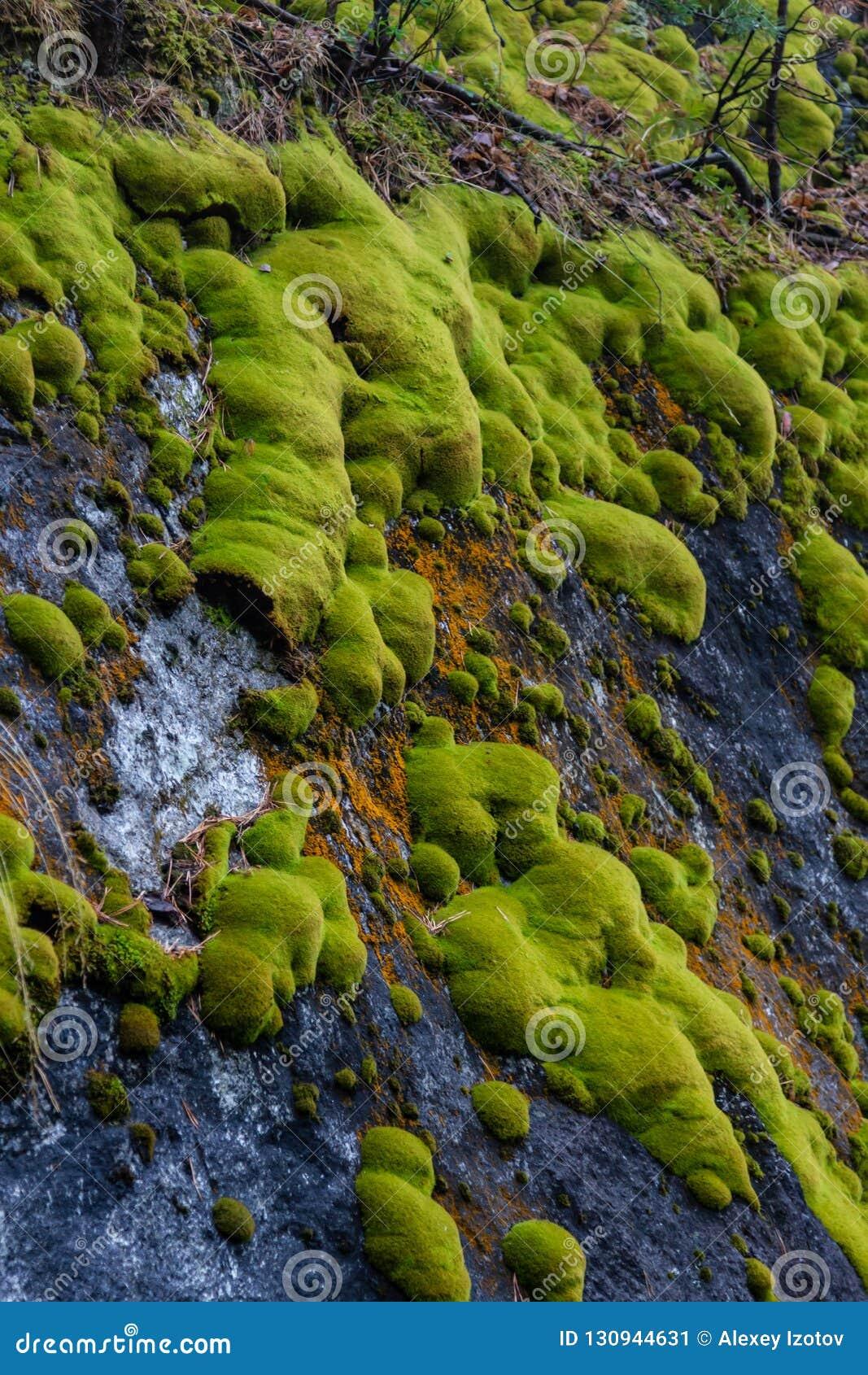 在石头的绿色青苔在滑石猎物石头附近的森林里在斯维尔德洛夫斯克地区