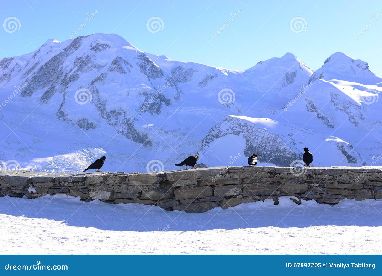在石篱芭的四只黑乌鸦