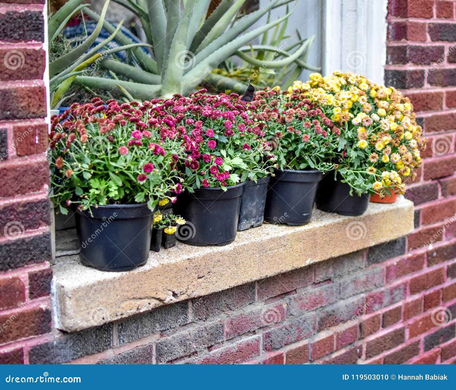 在砖瓦房窗台的菊花花