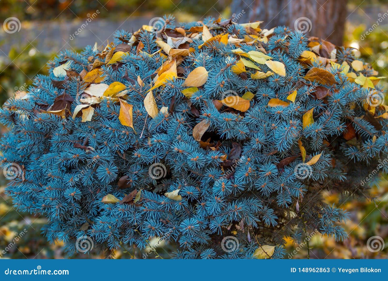 在秋叶的克罗钠矮小的蓝色云杉