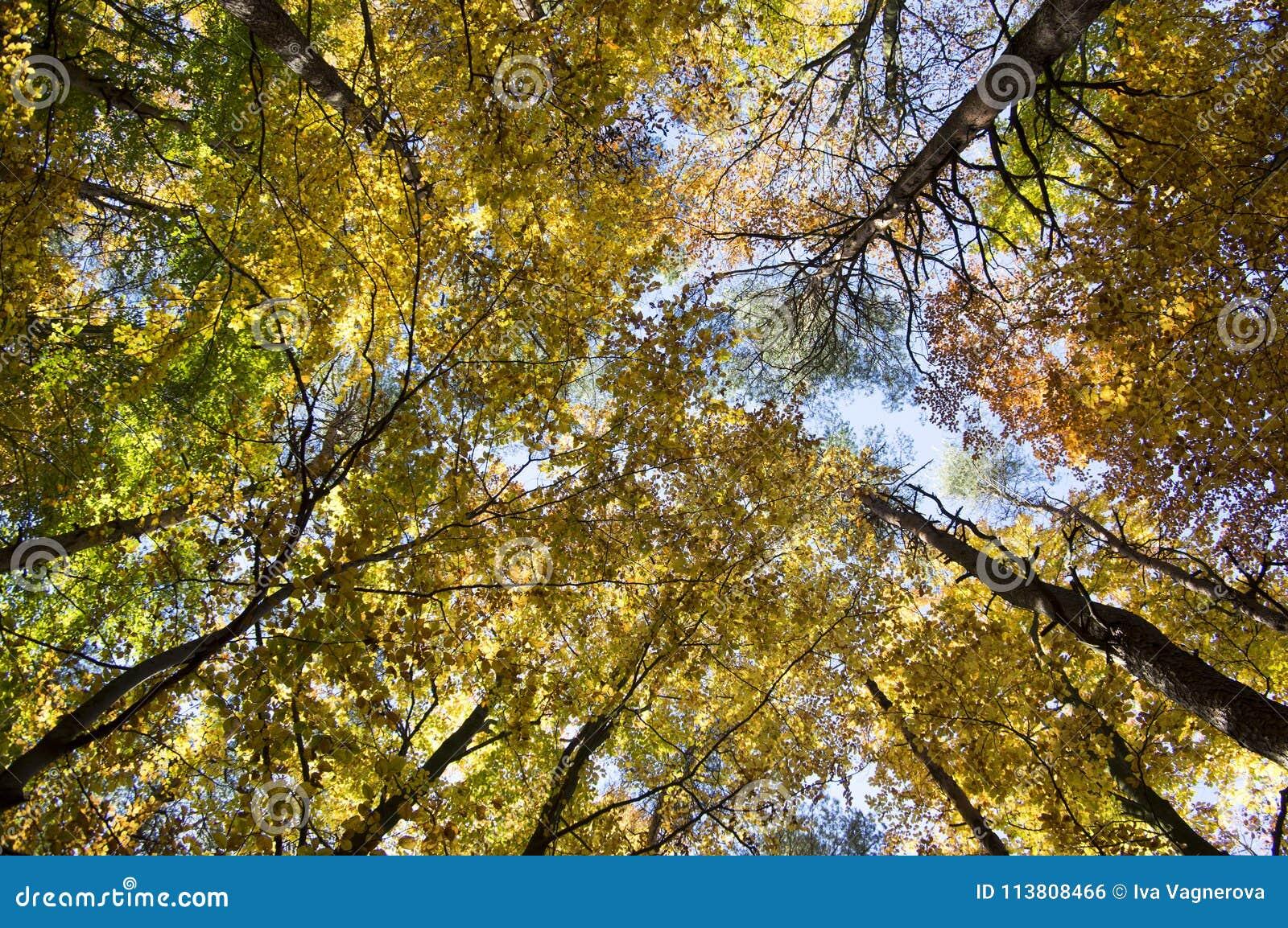 在秋天晴天,在分支,山毛榉和杉木落叶林,树的叶子充满活力的颜色期间加冠反对蓝天