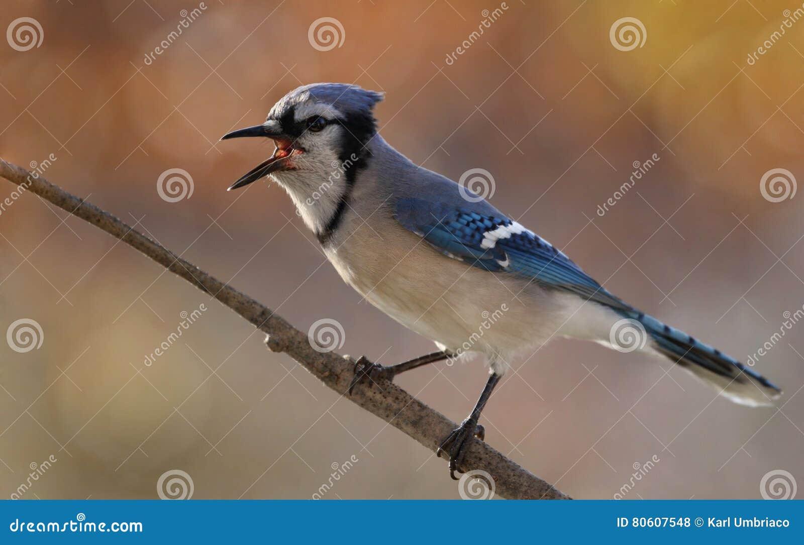 在秋天期间的蓝色尖嘴鸟