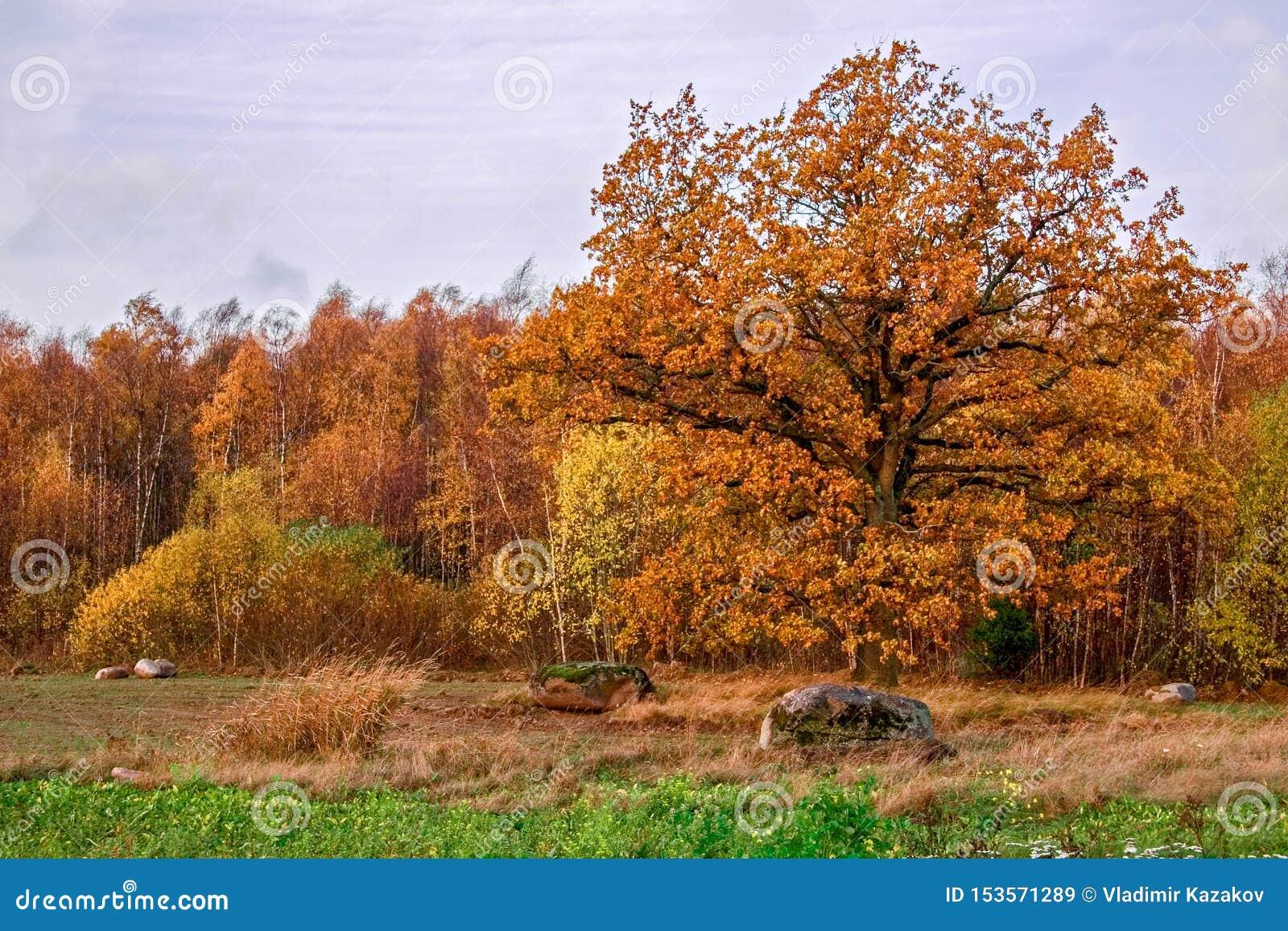 在秋天的别致的大厚实的橡木在陆军少校的肩章以秋天桦树森林为背景