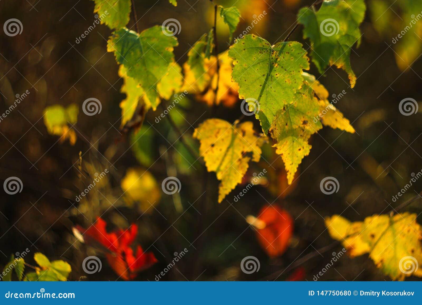 在秋天的桦树叶子