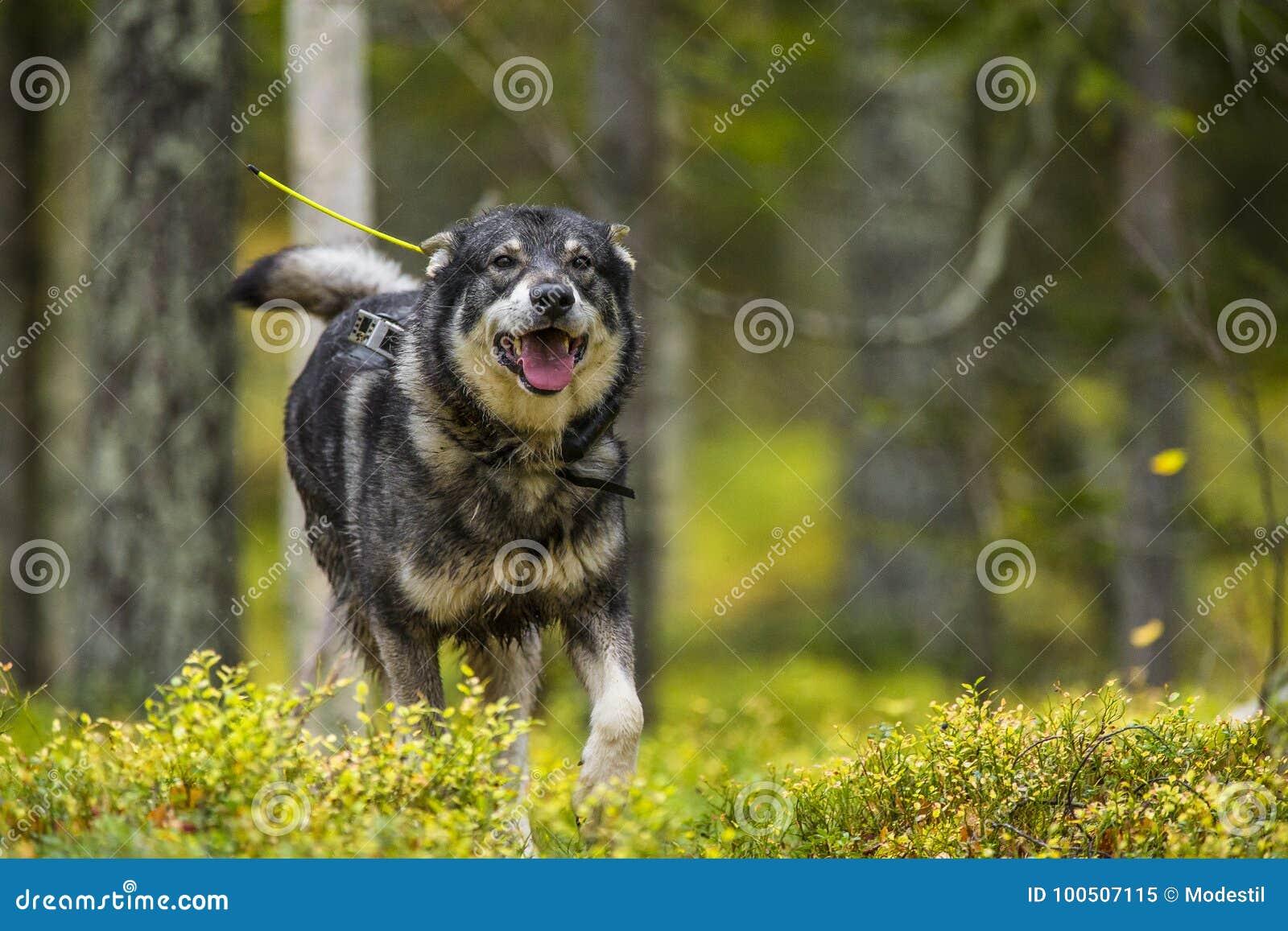 在秋天的瑞典语Moosehound
