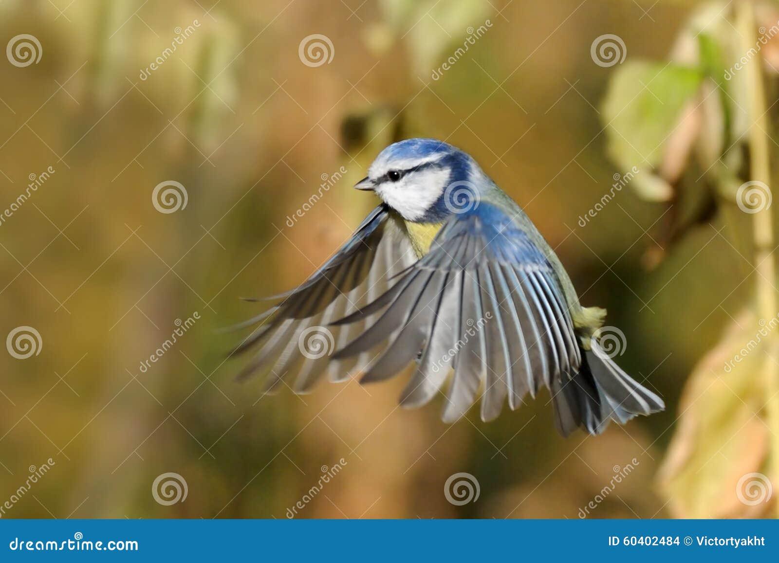 在秋天黄色草中的飞行的蓝冠山雀
