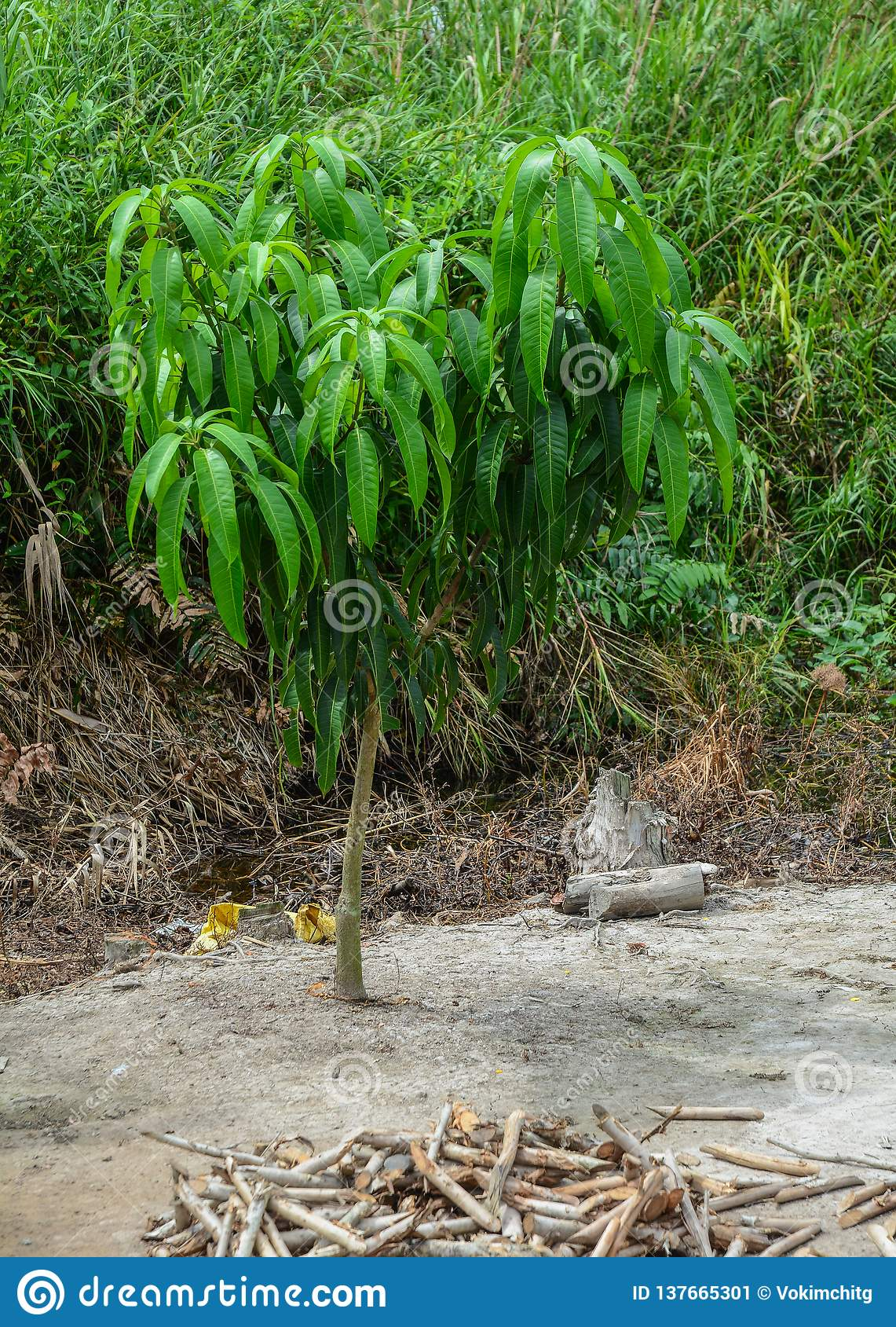 在种植园的小芒果树