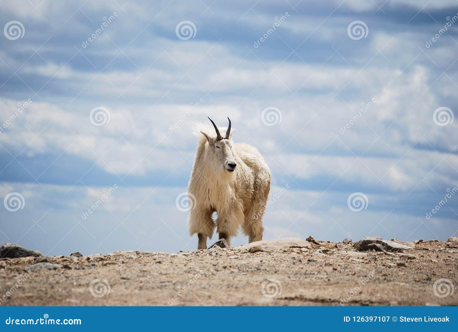 在科罗拉多` s落矶山,美国的石山羊