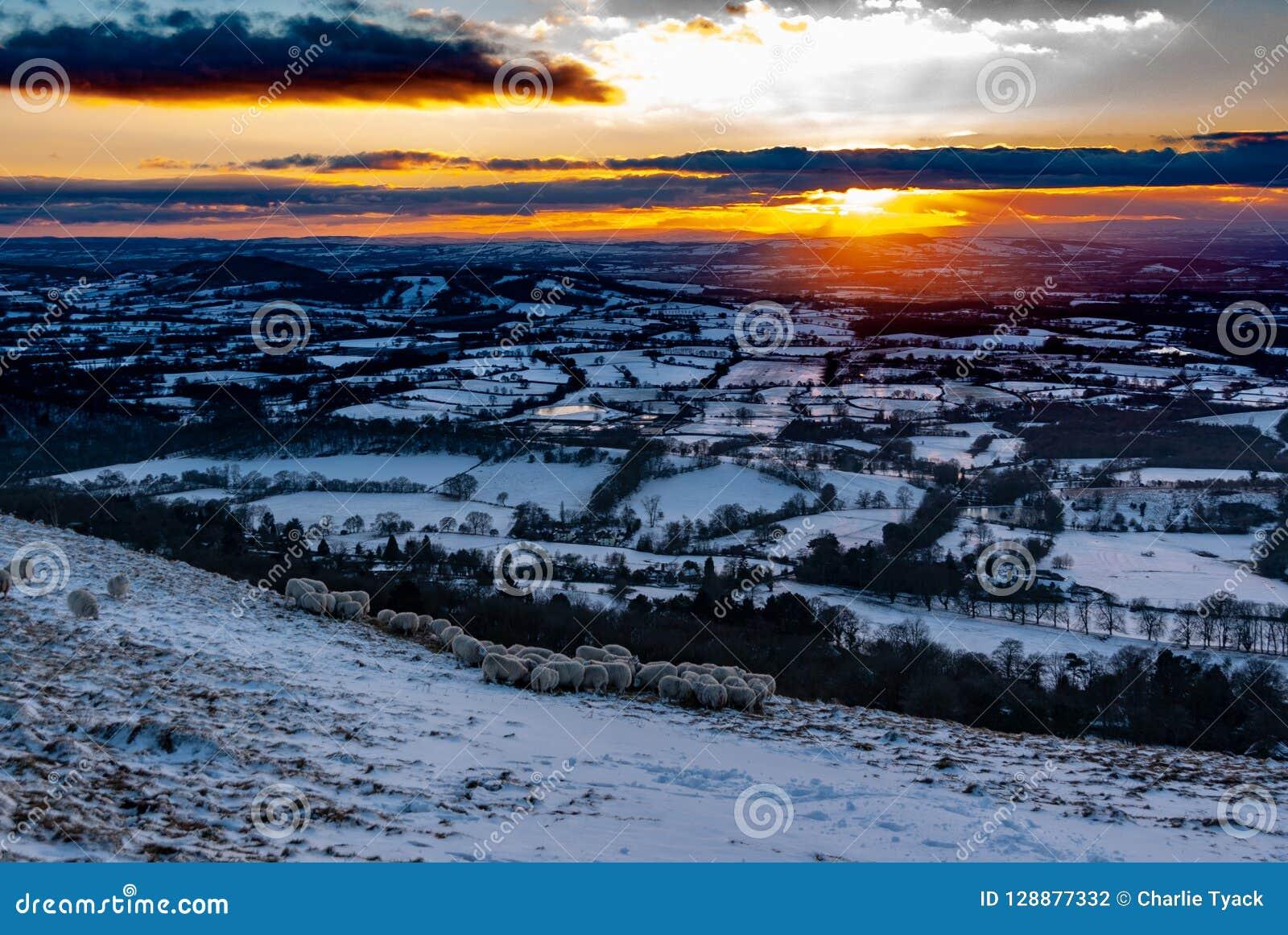 在科茨沃尔德,英国的冬天多雪的日落 挤作一团为温暖的绵羊