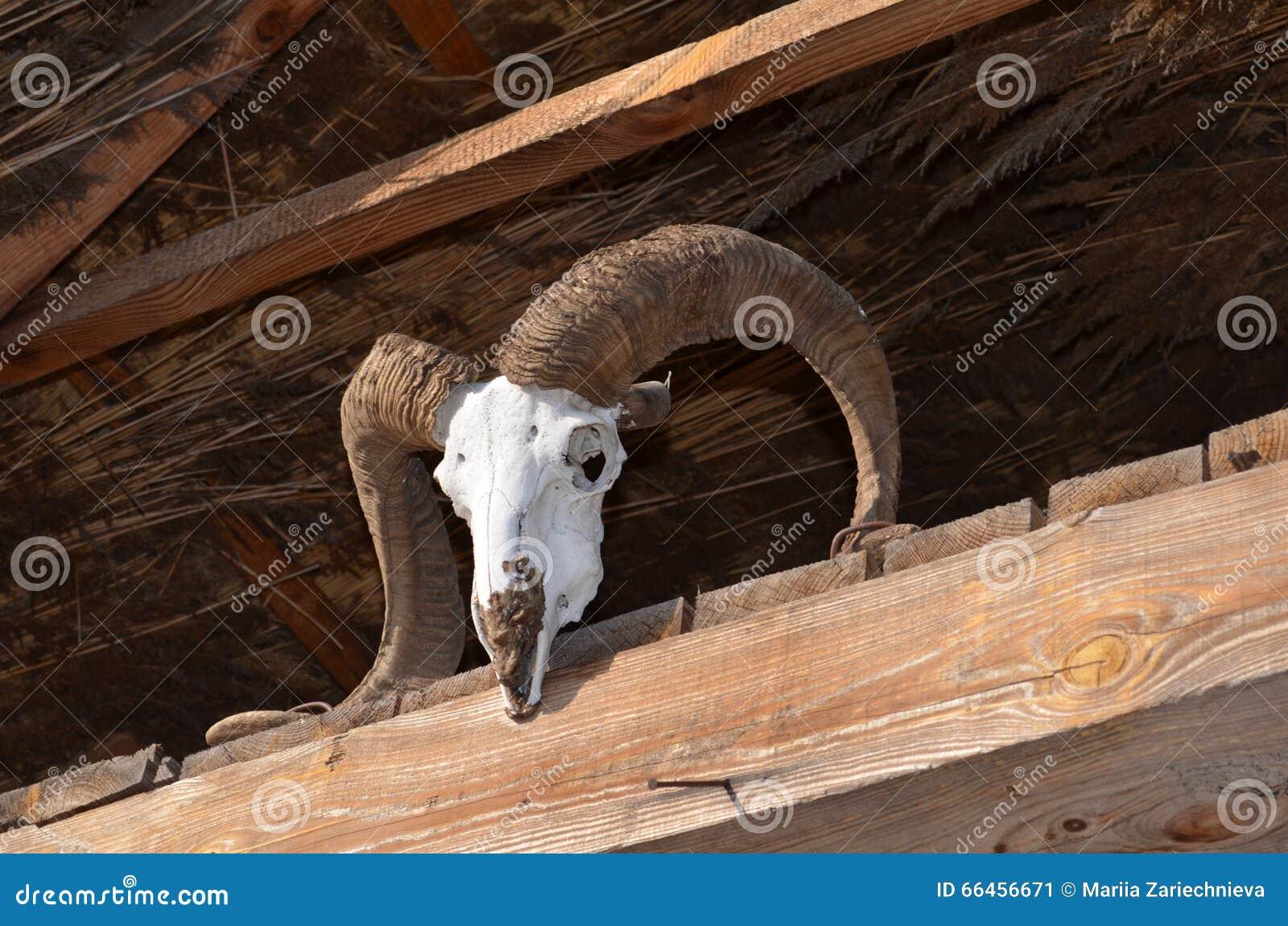 在顶梁的山羊头骨.