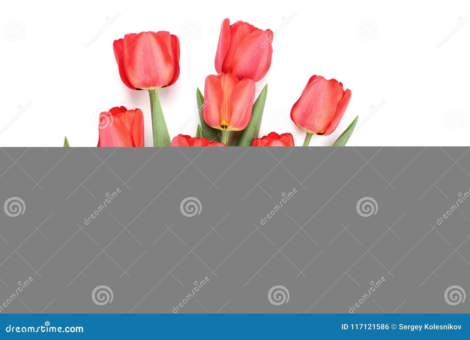 在空白背景查出的红色郁金香 顶视图 平的位置样式