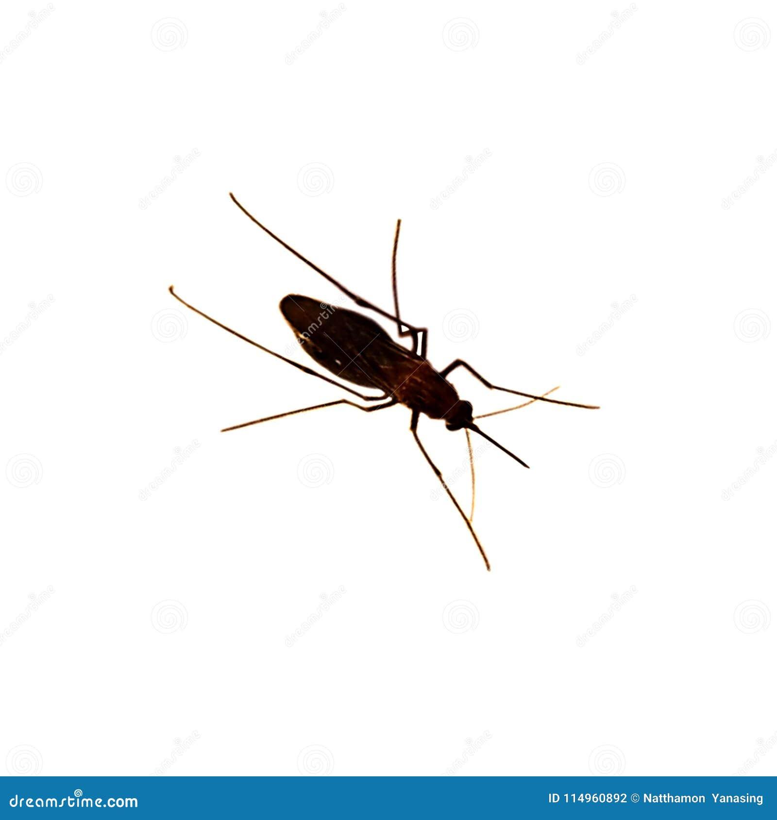 在空白背景查出的蚊子