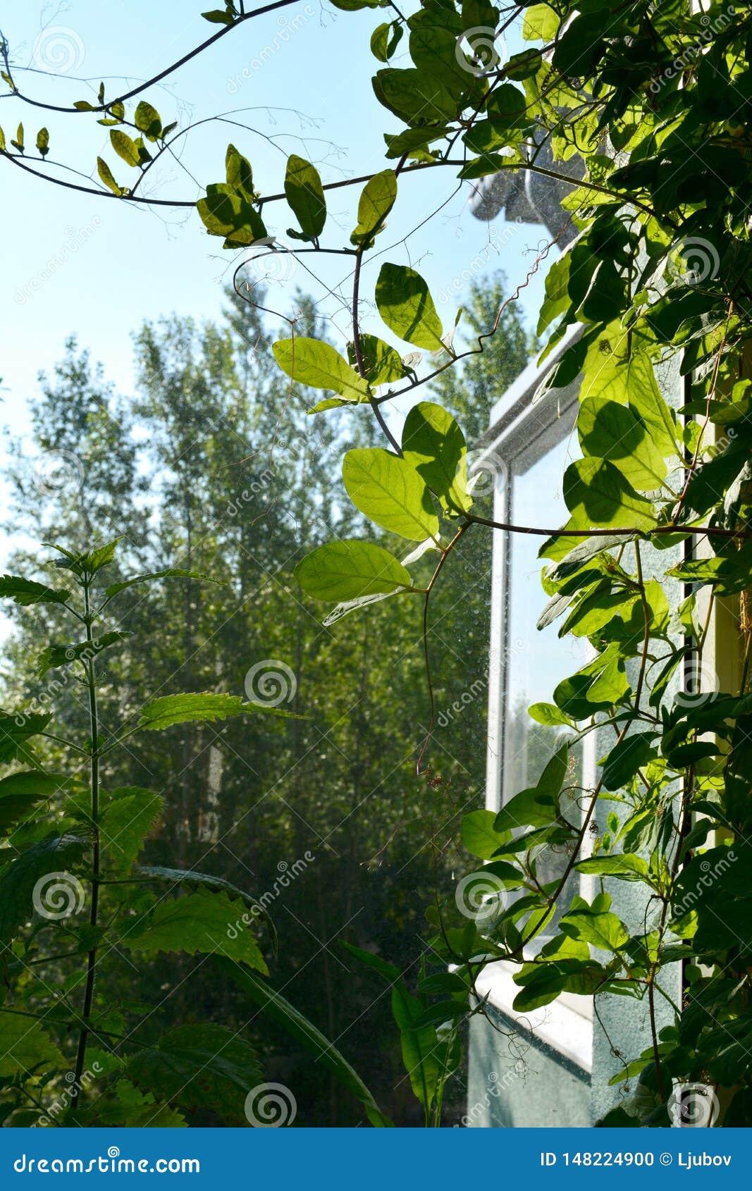 在窗口附近的绿色cobaea叶子在阳台的小都市庭院里 家庭绿化通过攀登植物
