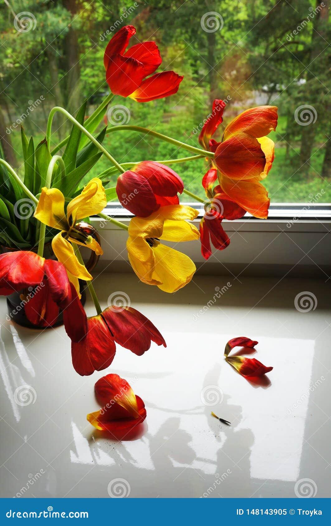 在窗台的红色和黄色郁金香