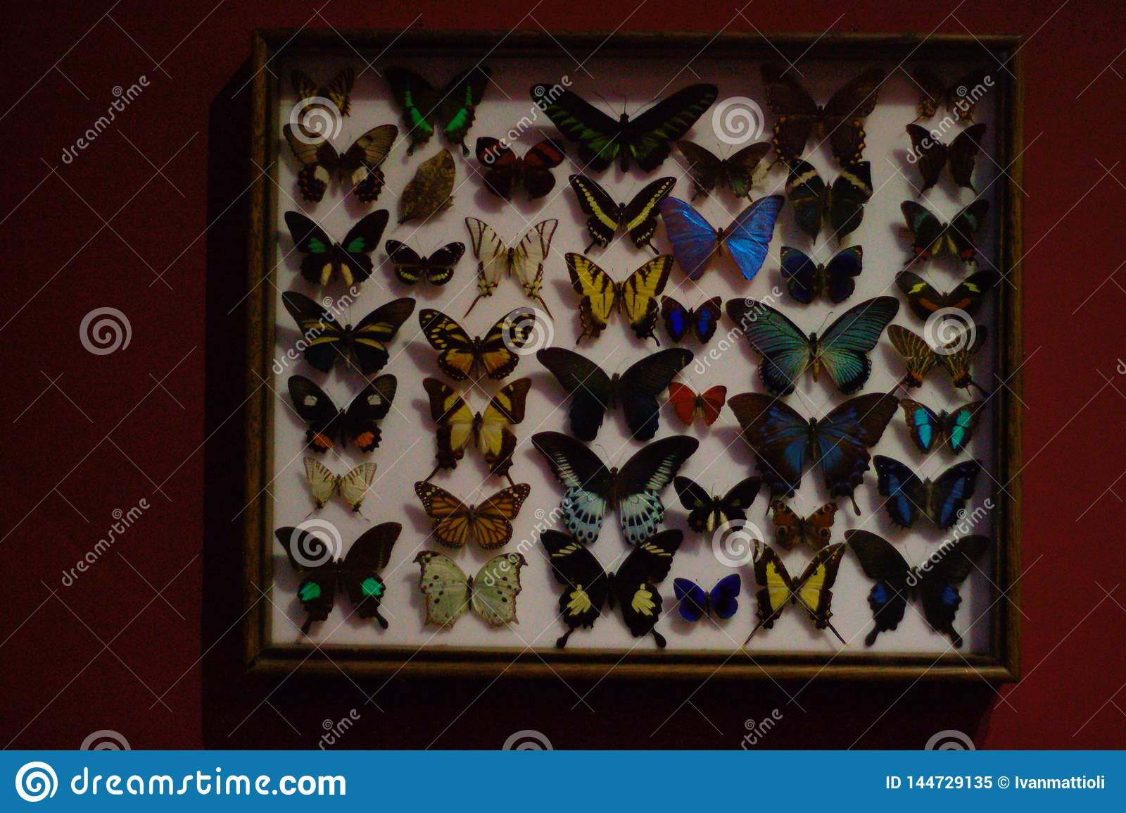 在箱子的被别住的蝴蝶 自然历史