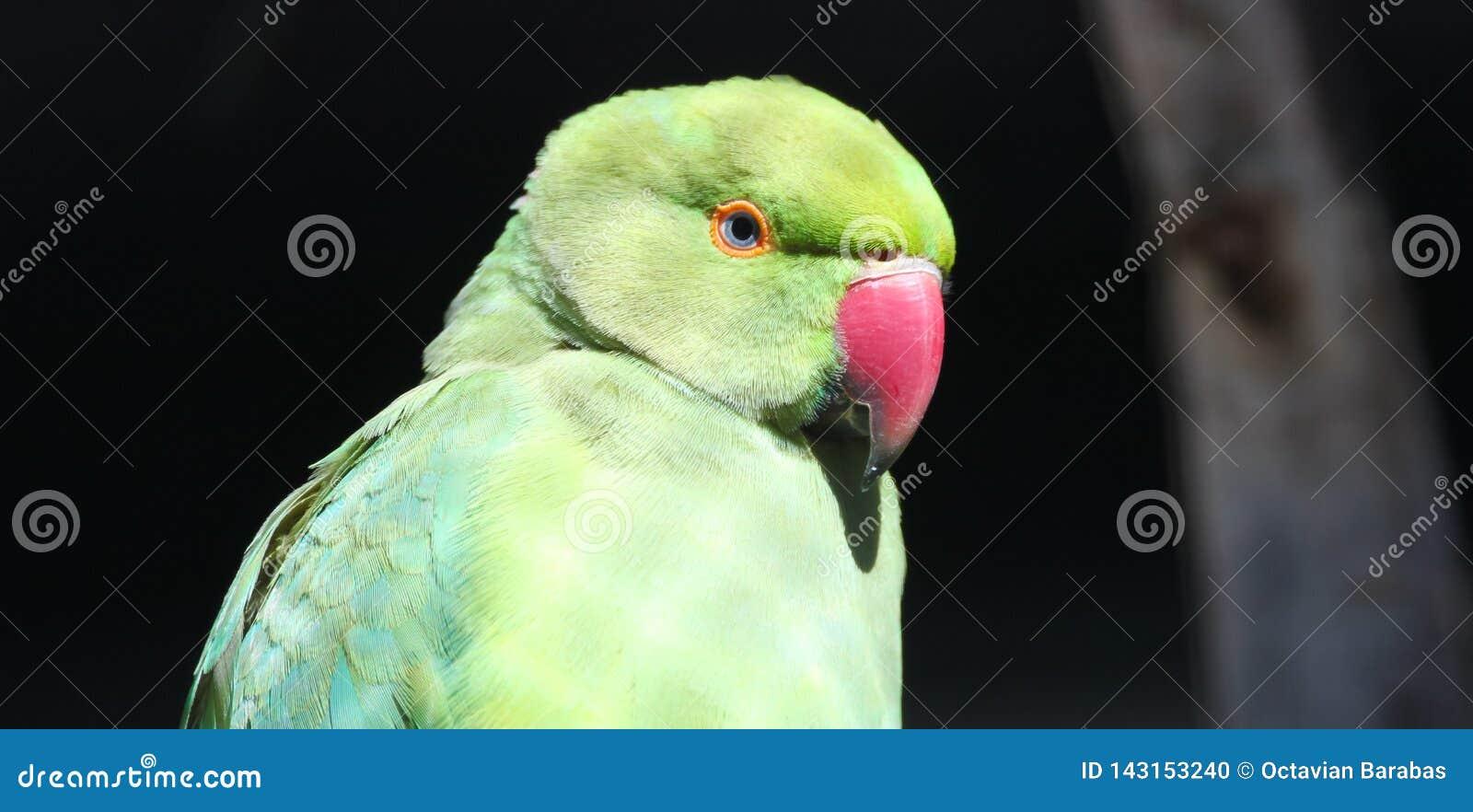 在篱芭后的绿色鹦鹉