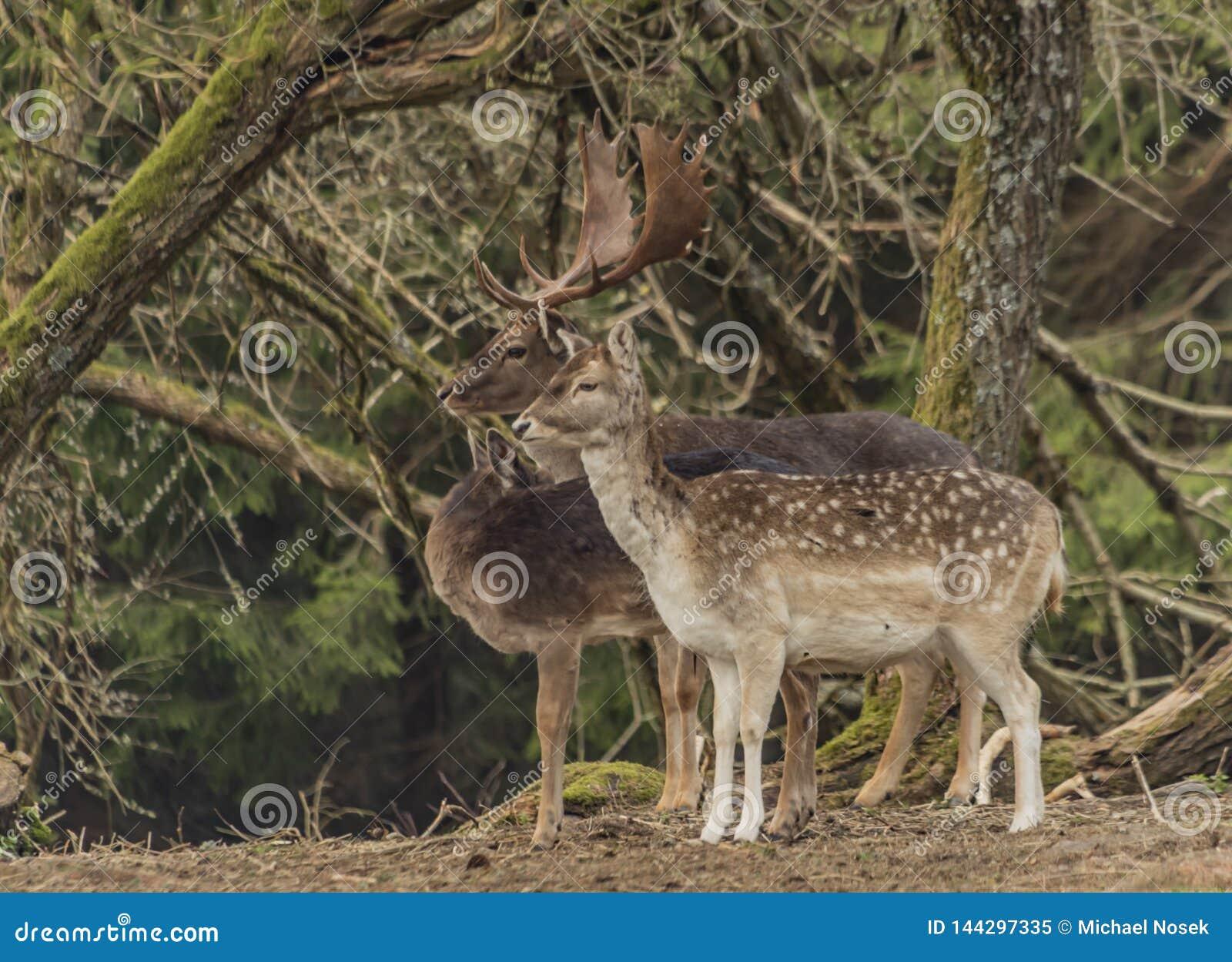在篱芭的小鹿有在Krusne山的树的在春日