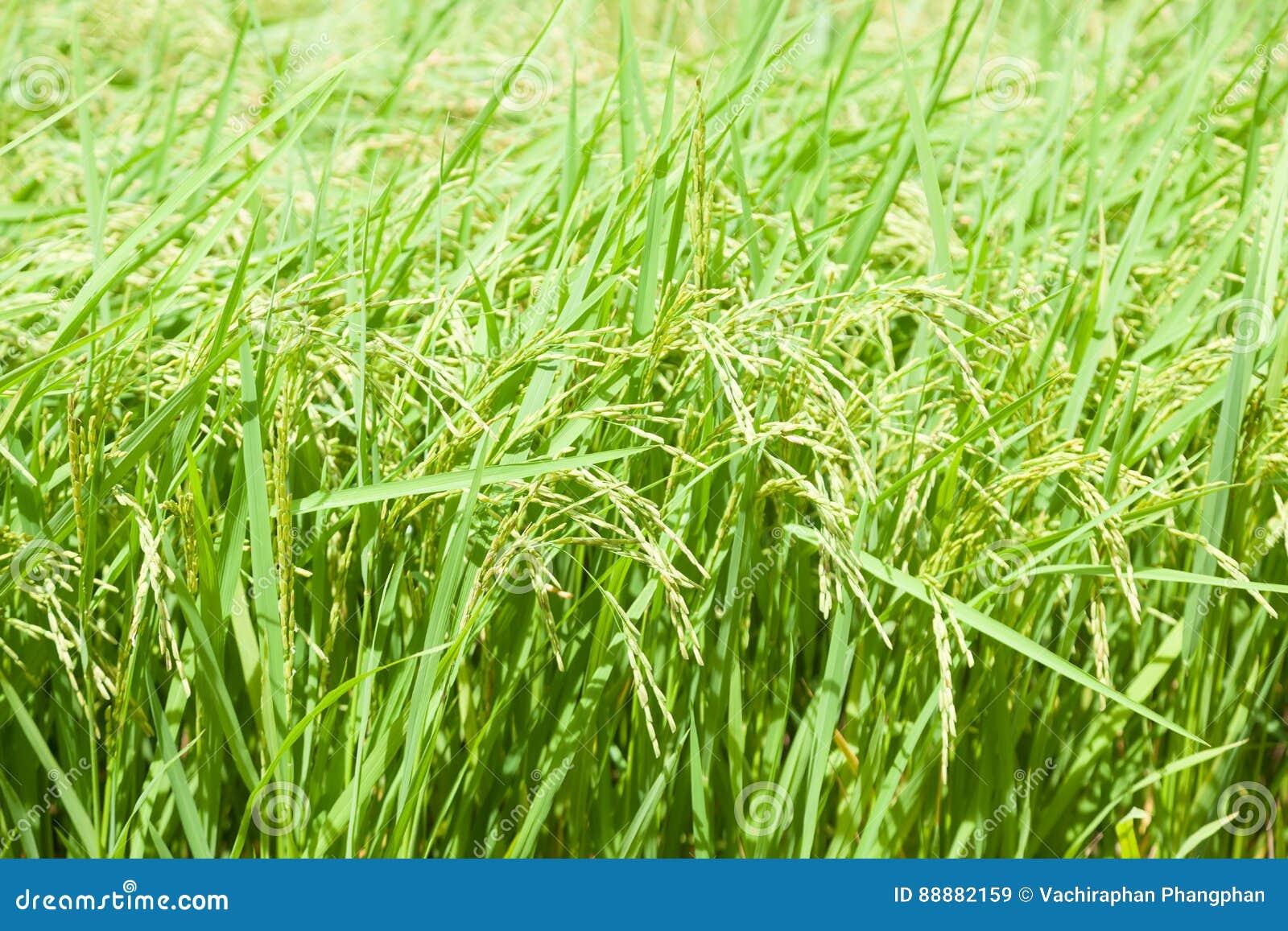 在米领域的米